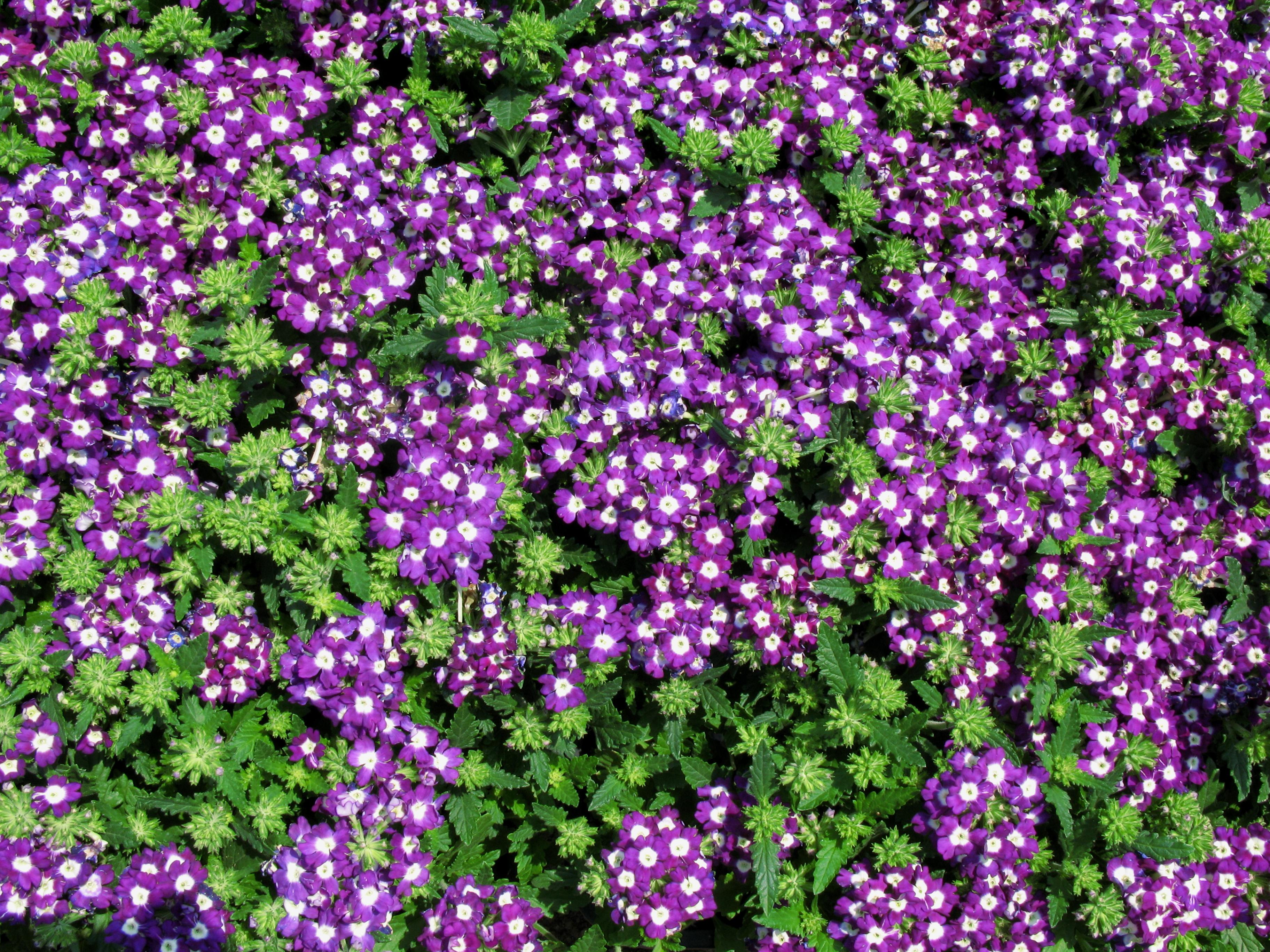 Free Images Flower Pattern High Herb Wildflower Background