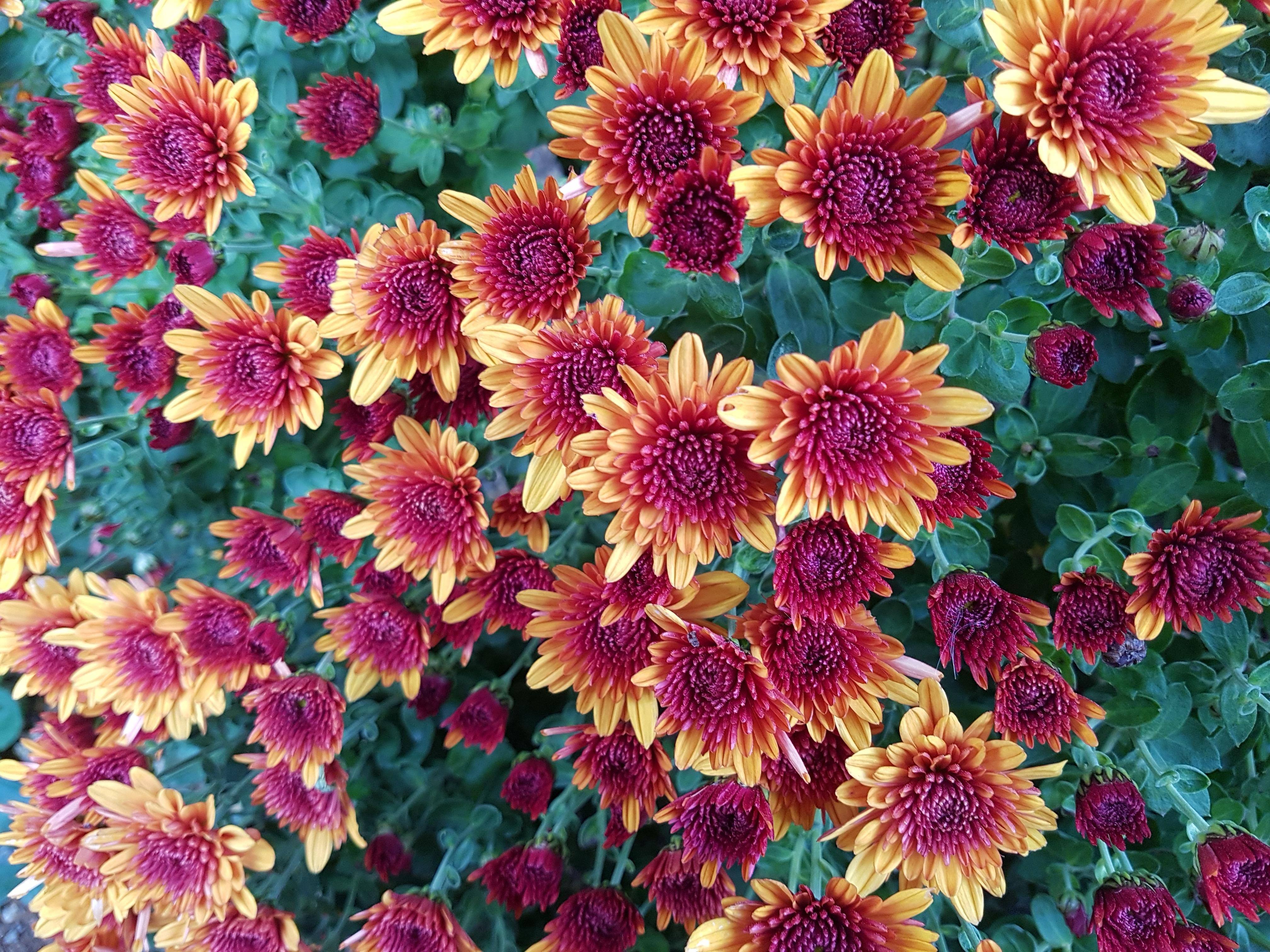 free images : petal, autumn, botany, flora, chrysanthemum, floristry