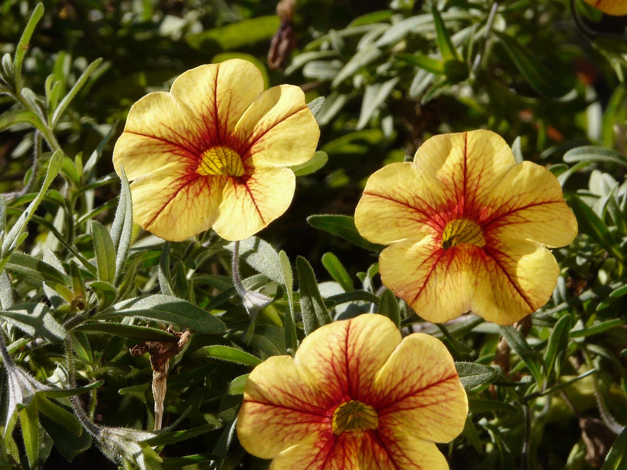 Kostenlose Foto Blutenblatt Balkon Botanik Gelb Garten Flora