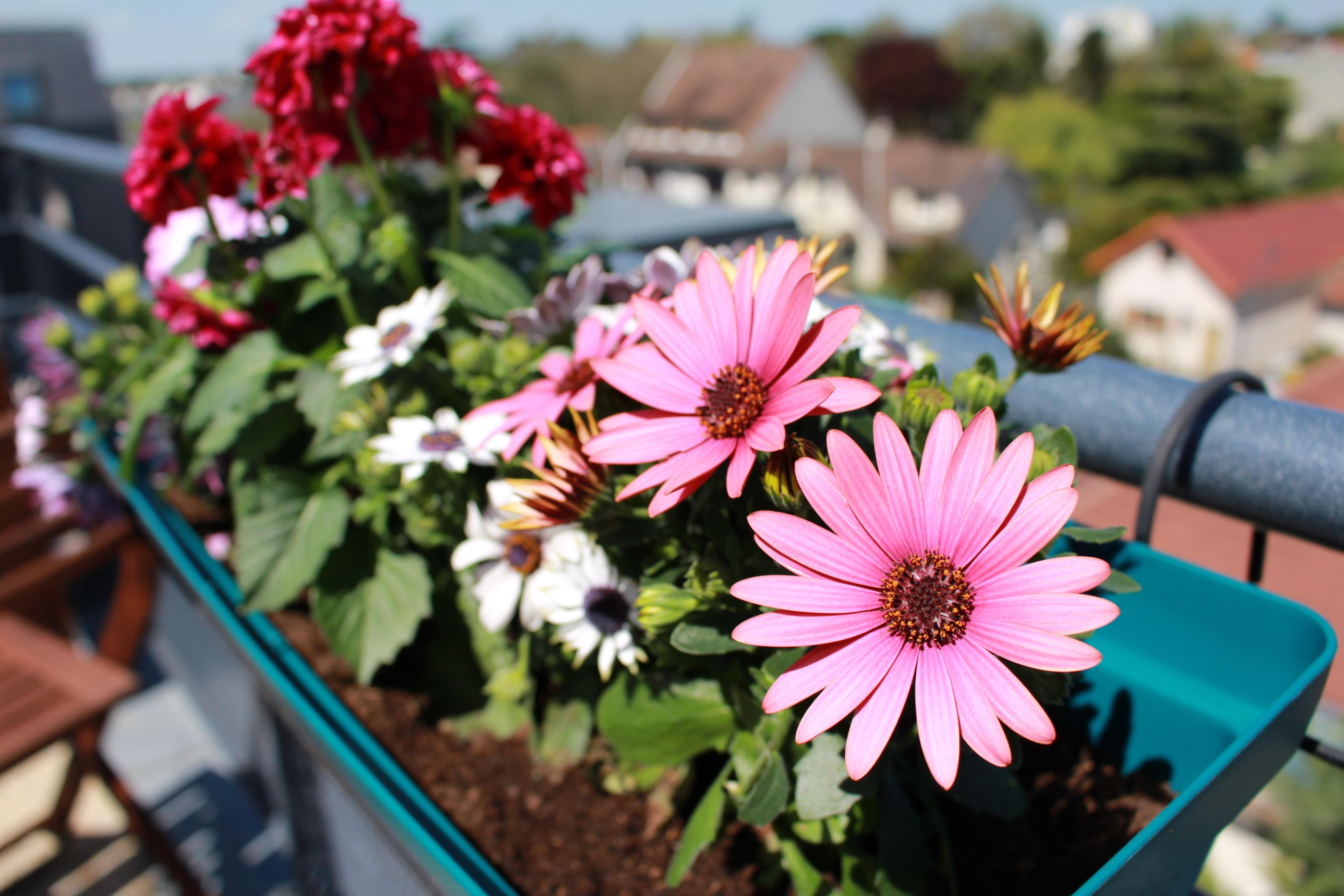 Pflanze Blume Blütenblatt Balkon Frühling Garten Flora Blumen Dahlie  Floristik Pinke Blumen Blühende Pflanze Gänseblümchenfamilie Blumenstrauß