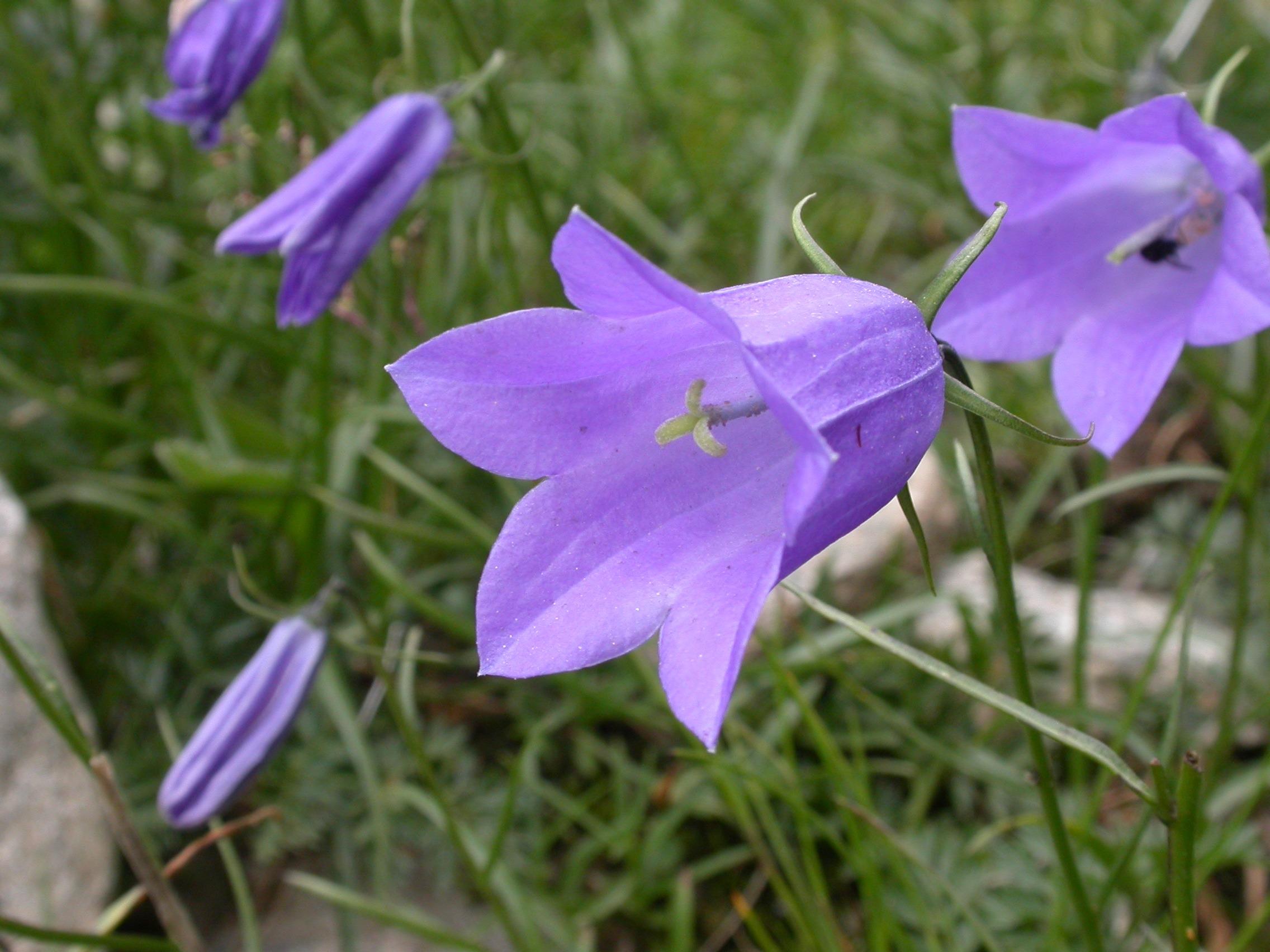 Images Gratuites : fleur, pétale, cloche, botanique, flore ...