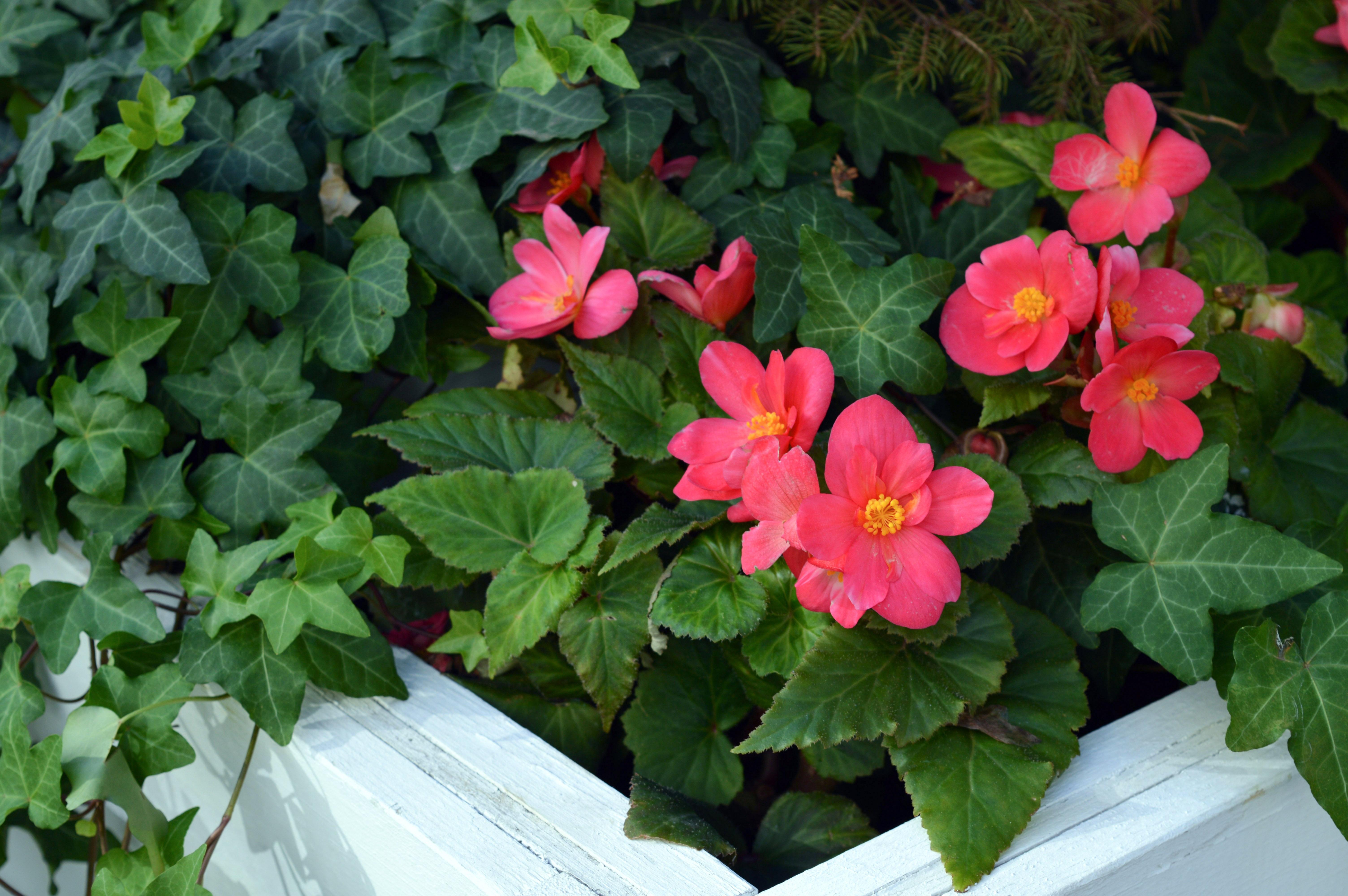 Kostenlose Foto Blütenblatt Blühen Botanik Rosa Flora