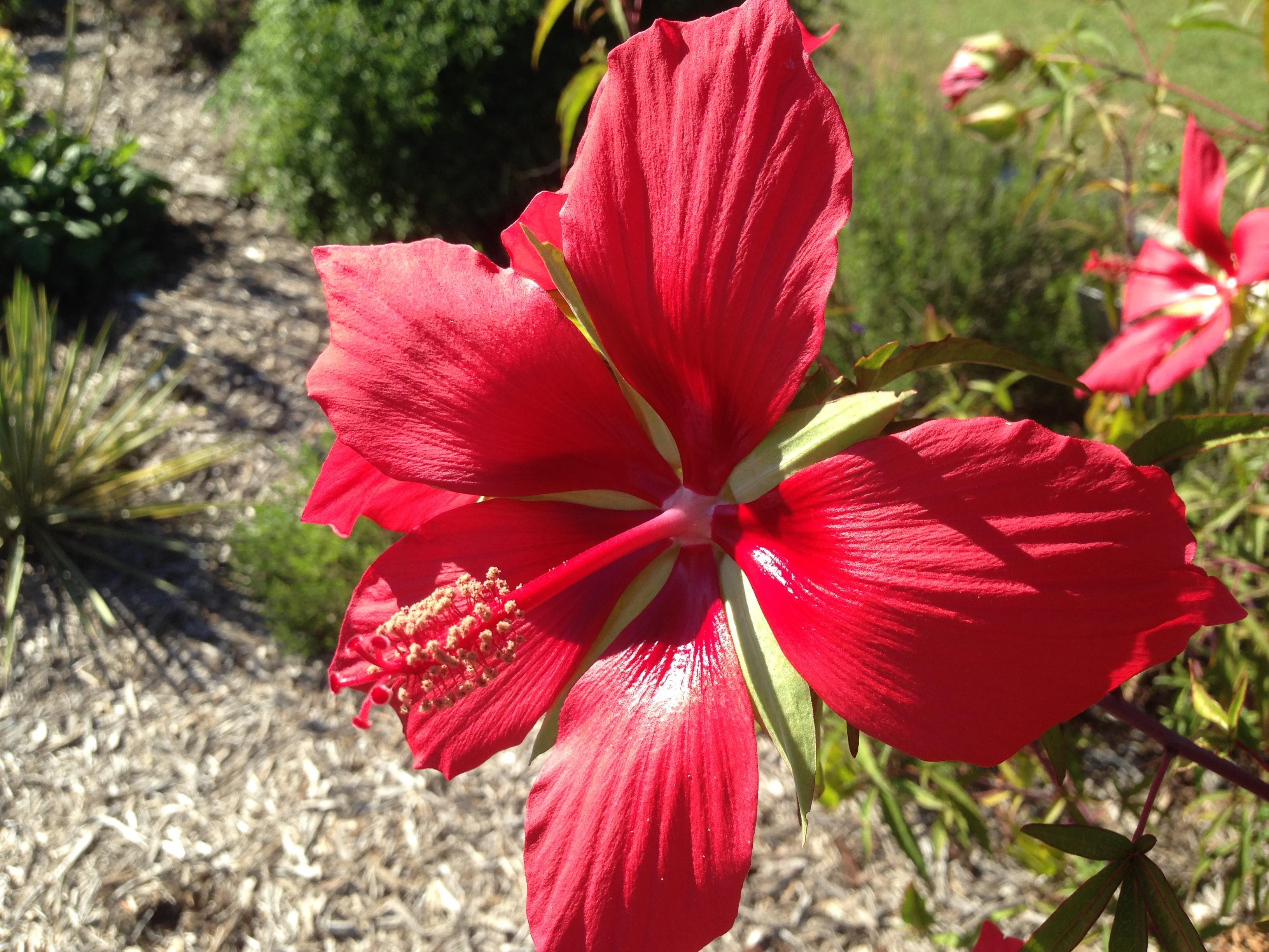 Free Images Flower Petal Bloom Red Botany Flora Flowering