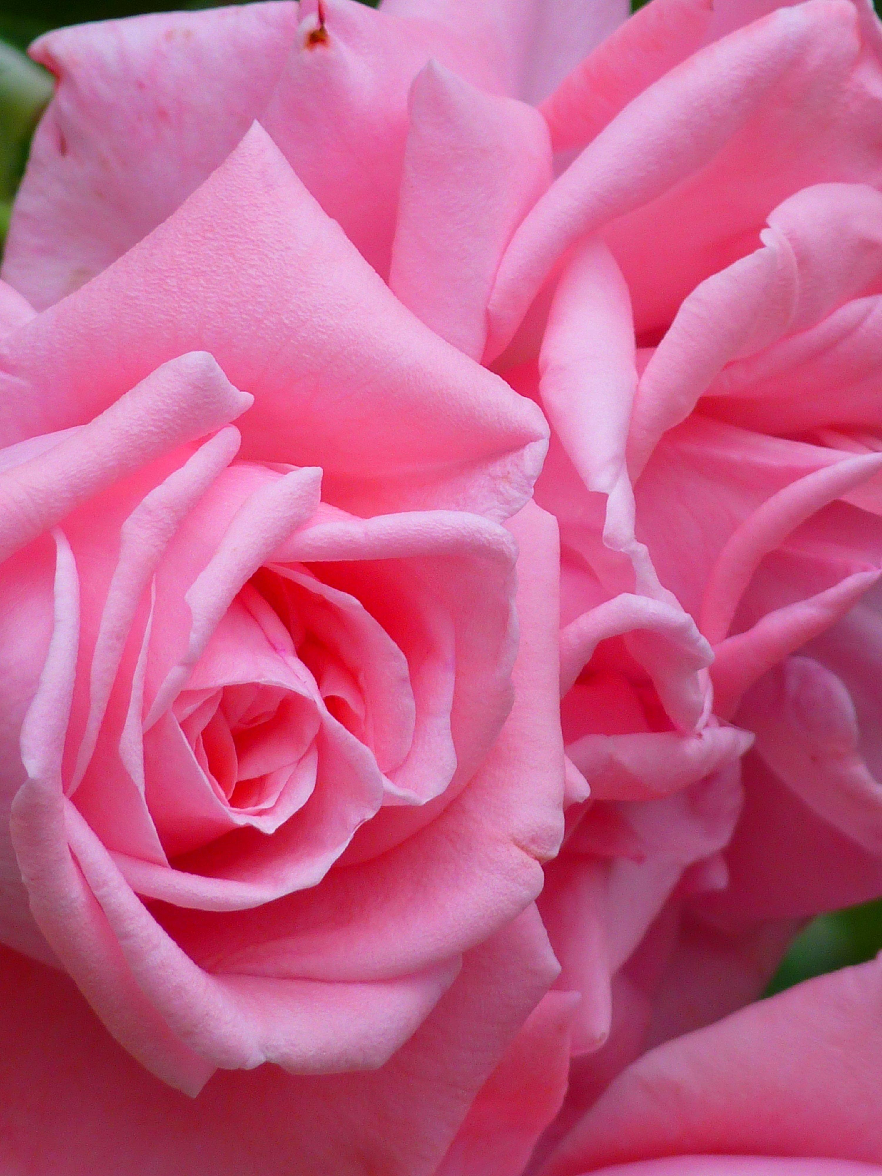 картинки розы розового цвета разнообразить