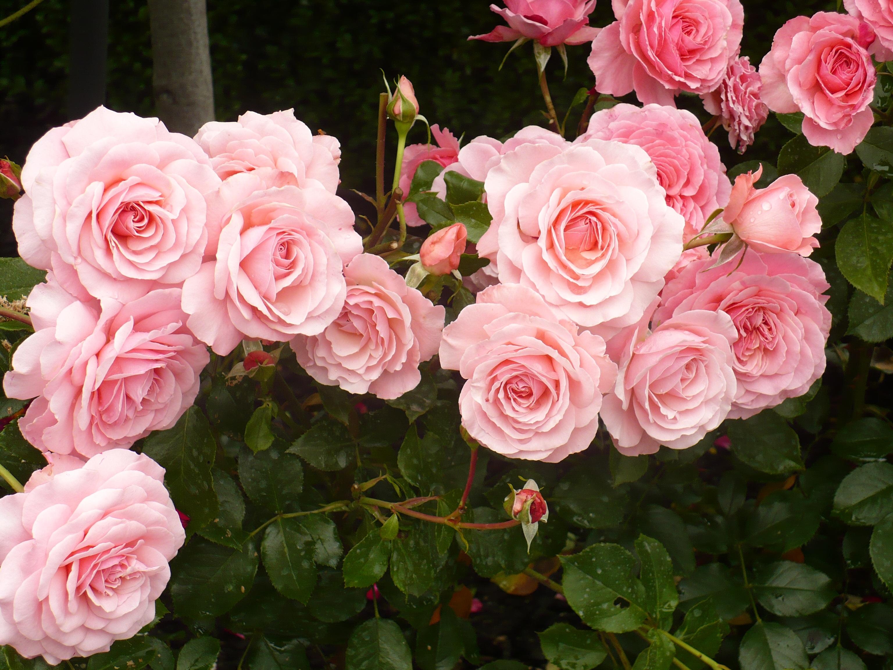 Free Images Flower Petal Bloom Fresh Pink Botanical Blossoms