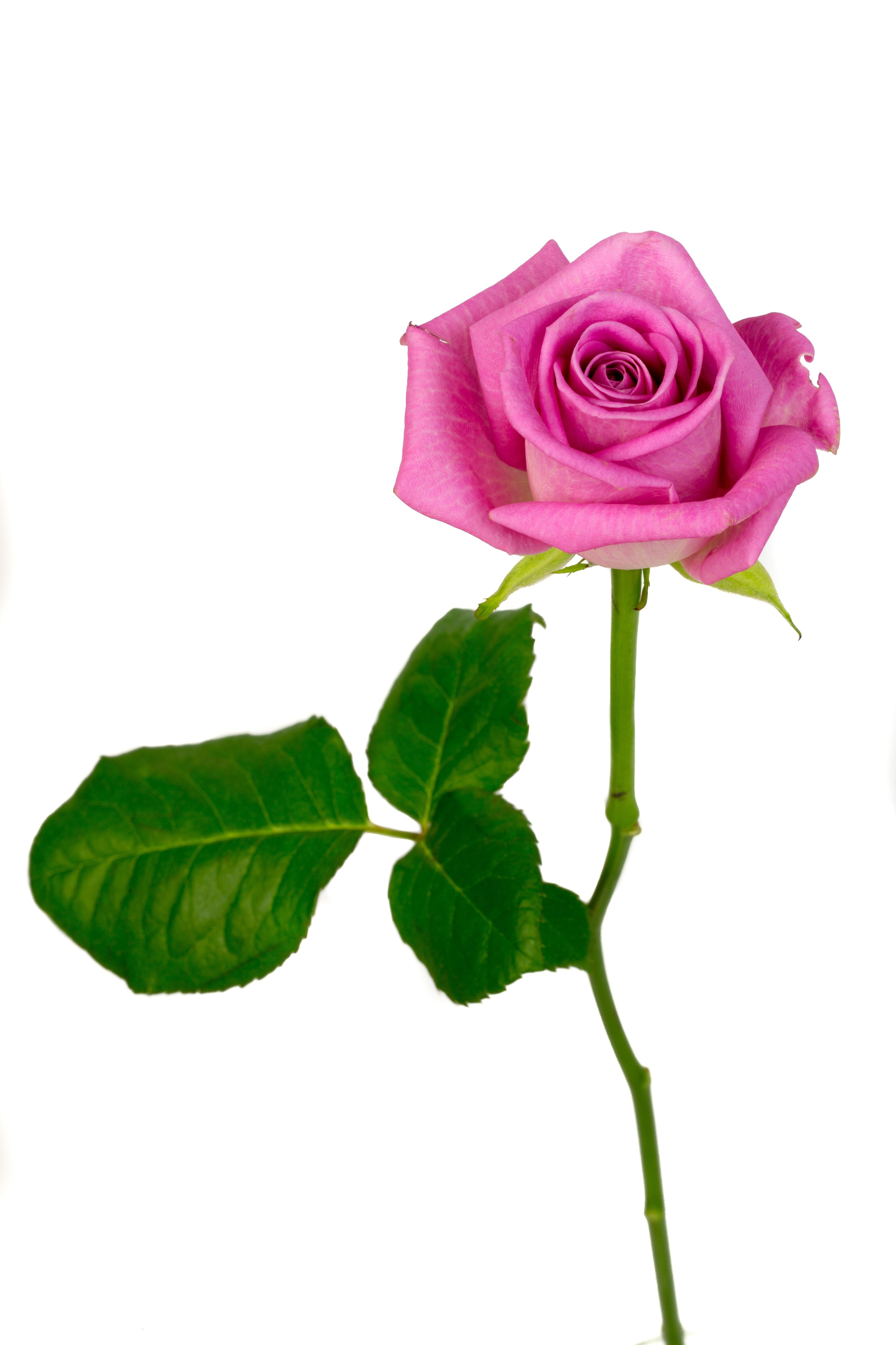 Fotos gratis p talo florecer macro rosado flores - Cortar hierba alta ...