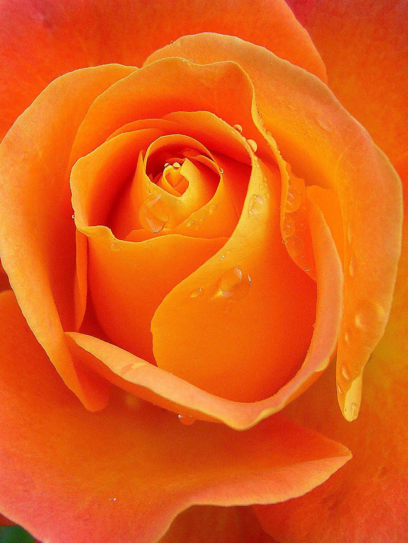 розово оранжевые розы картинка первом