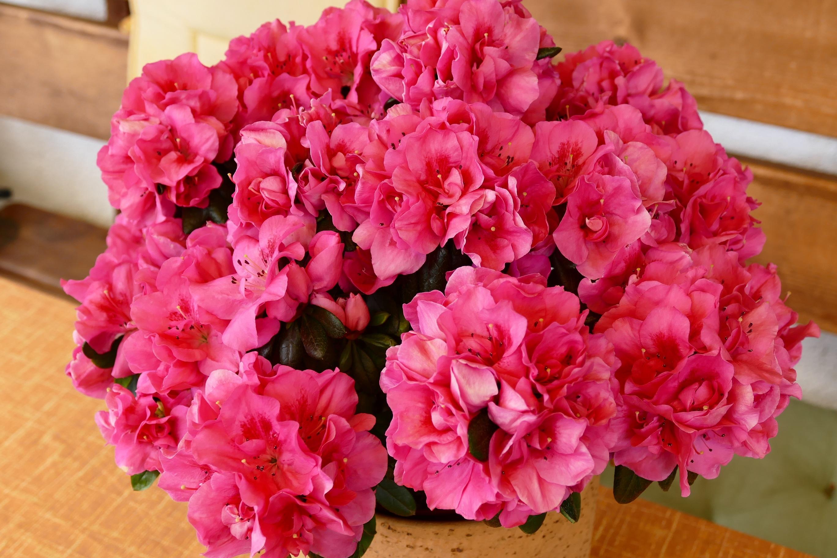 Цветок розалия картинки