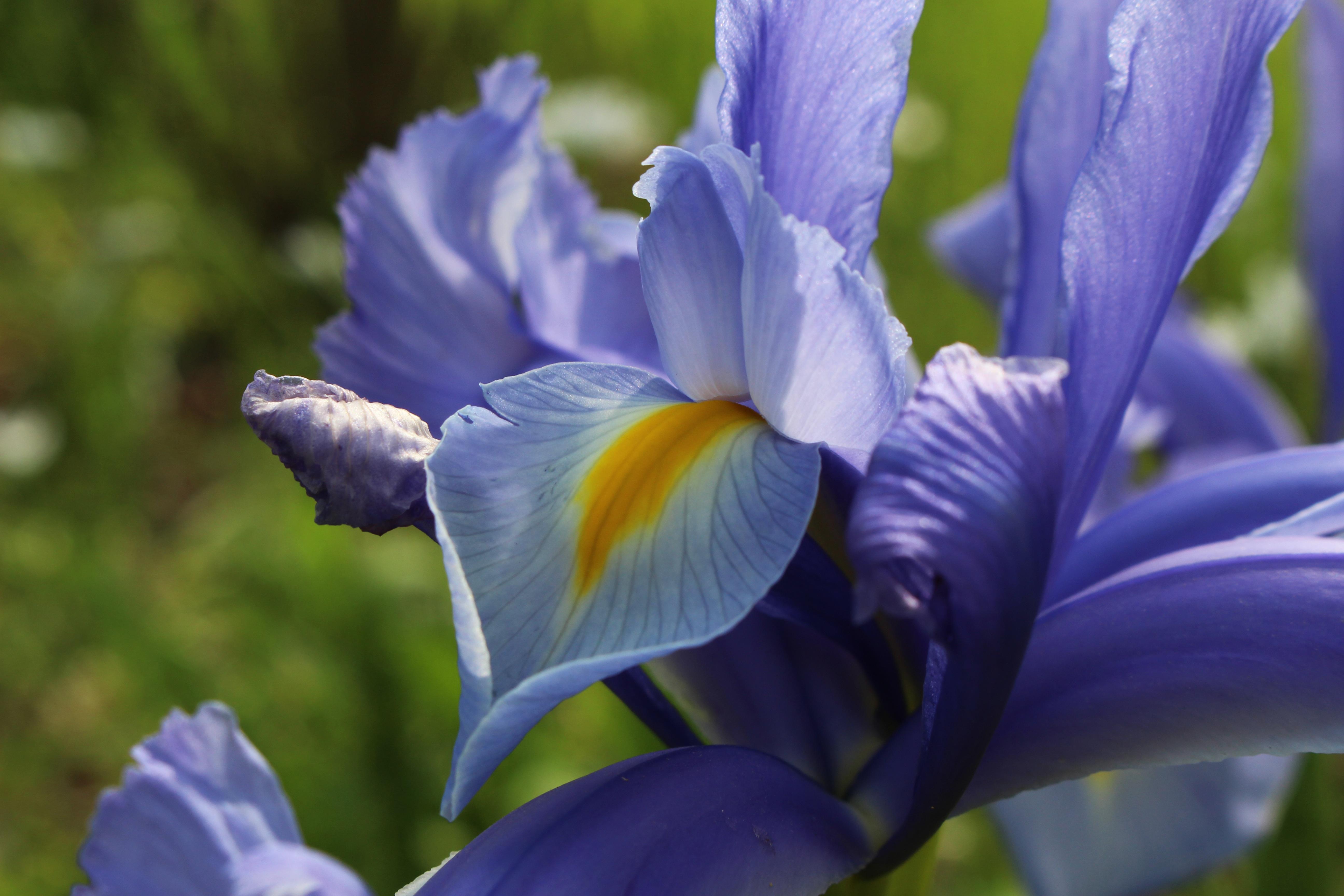 Free Images Petal Bloom Flora Blue Flower Background Eye