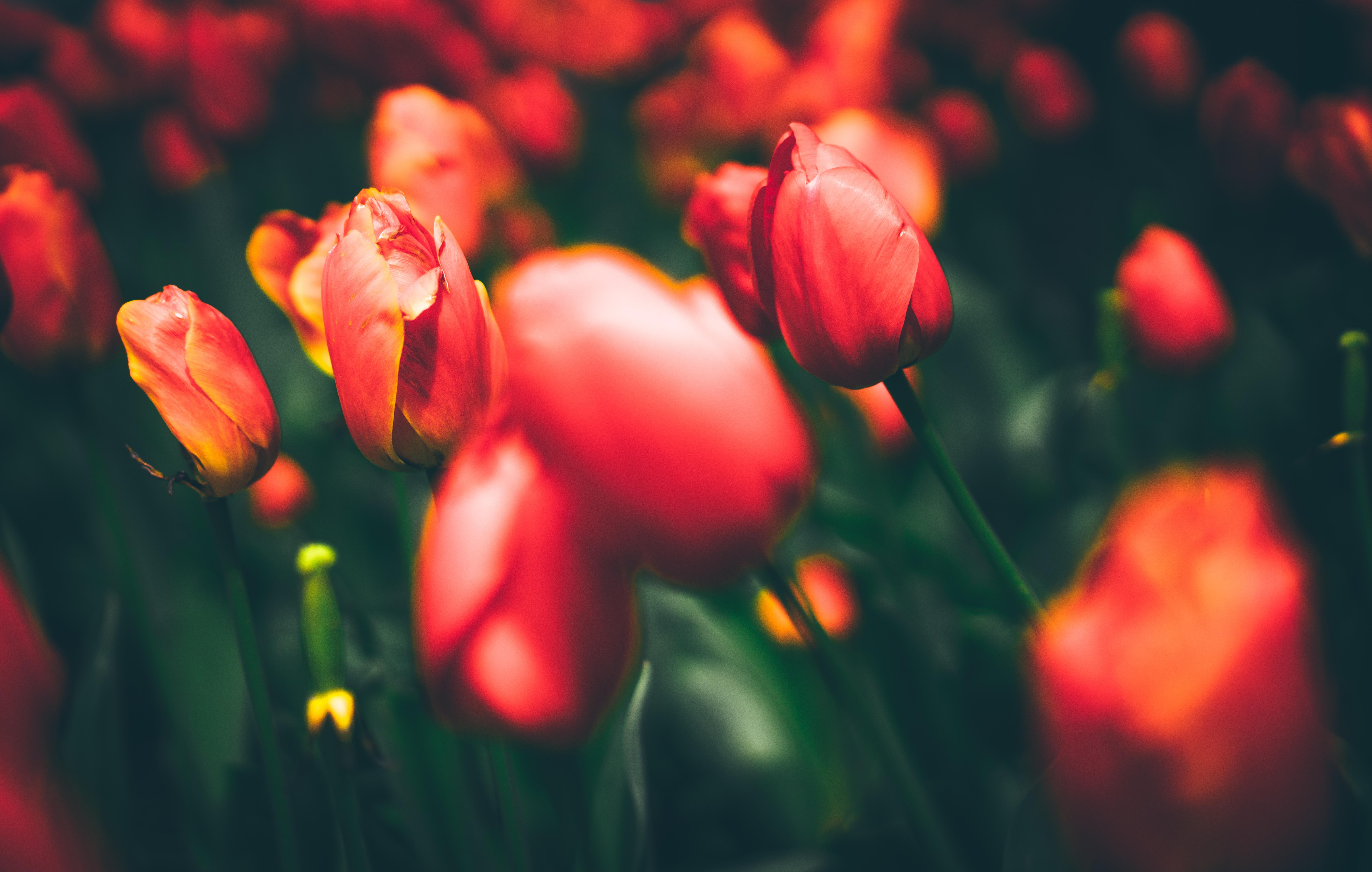 макро цветы красные природа тюльпаны  № 3286330 без смс
