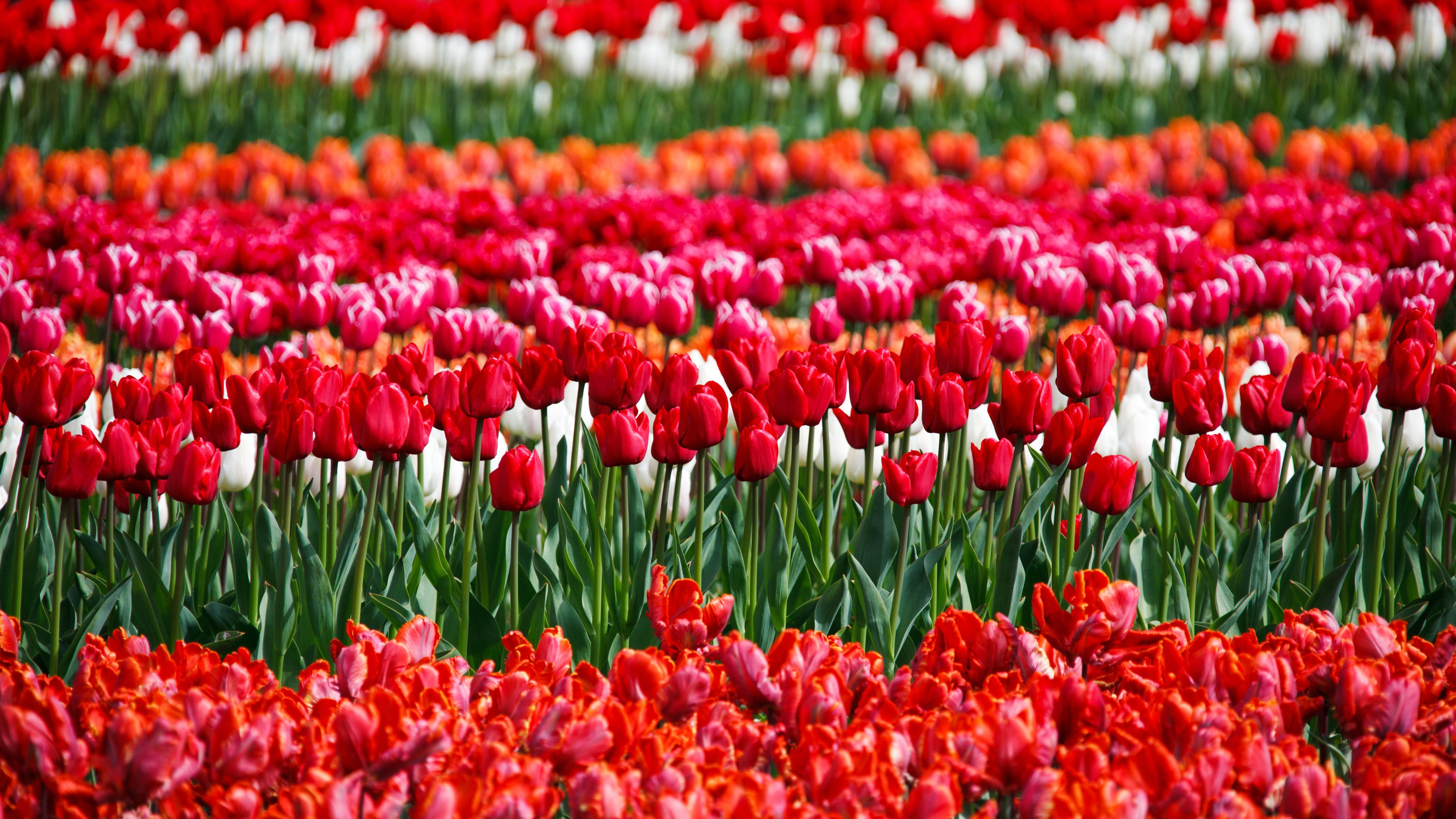 Free Images : flower, petal, bloom, tulip, spring, green, red, color ...