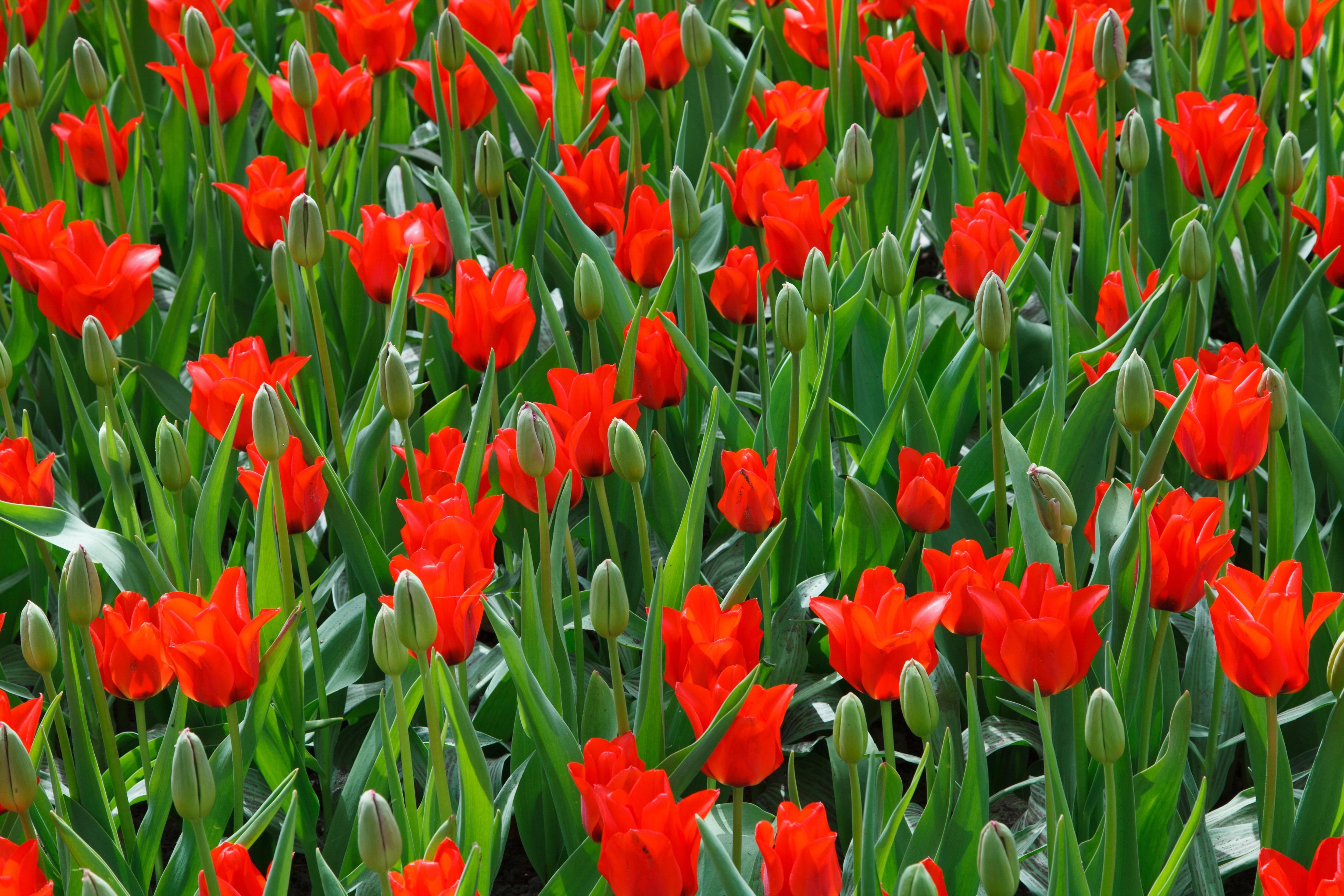 стандартный картинки с красными тюльпанами слова