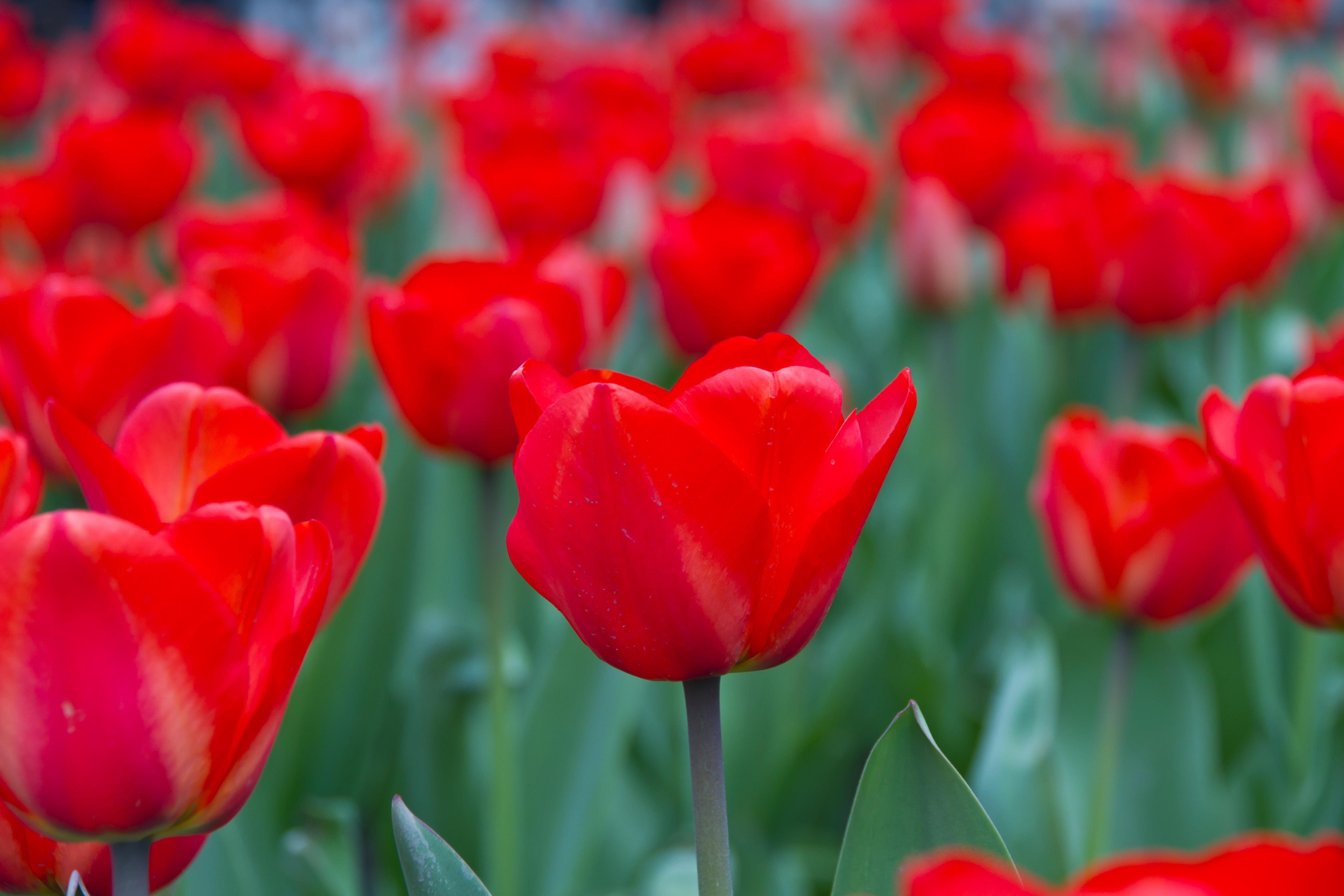 Free Images Flower Petal Bloom Tulip Spring Red Flowers