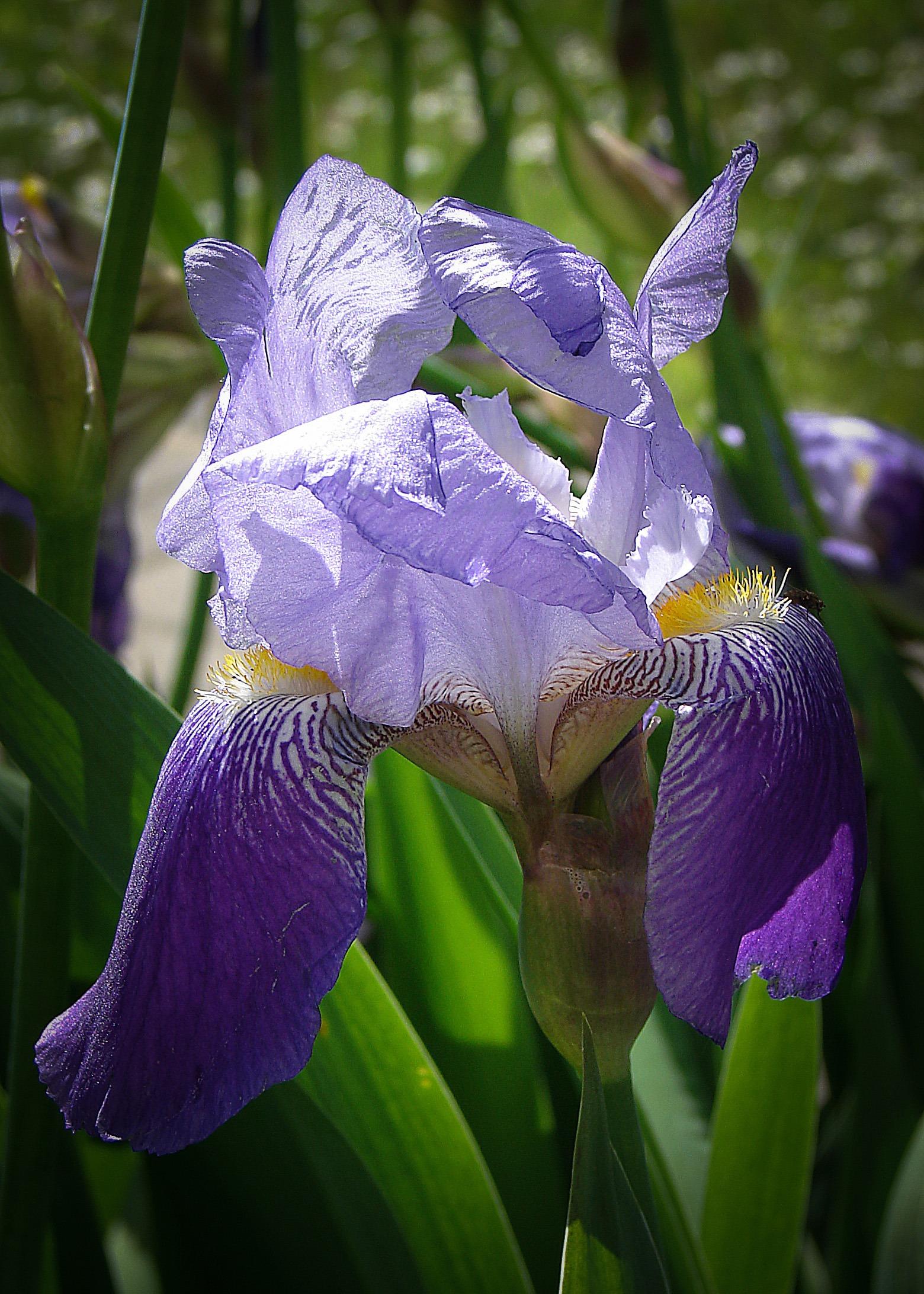 Free Images Flower Petal Botany Blue Flora Flowers Eye