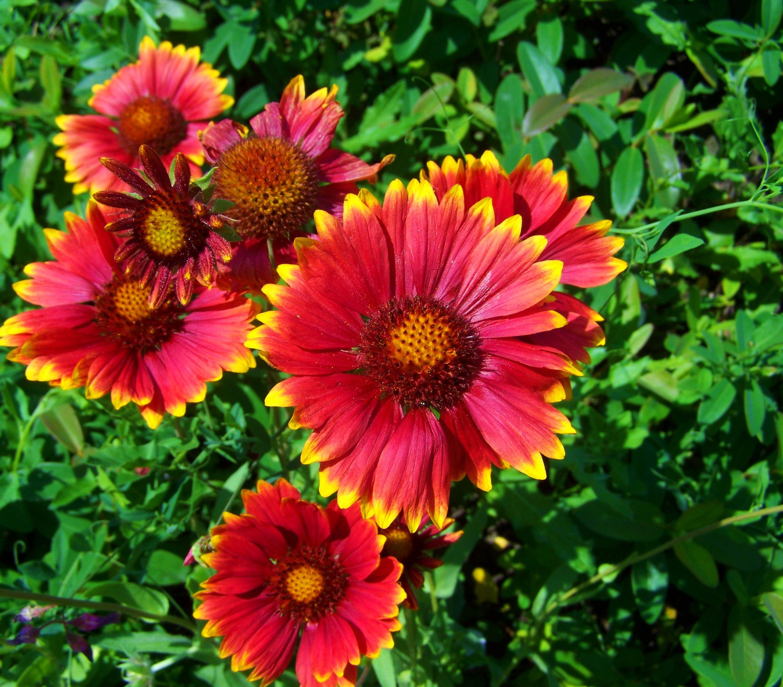 Садовые цветы однолетники на букву к фото