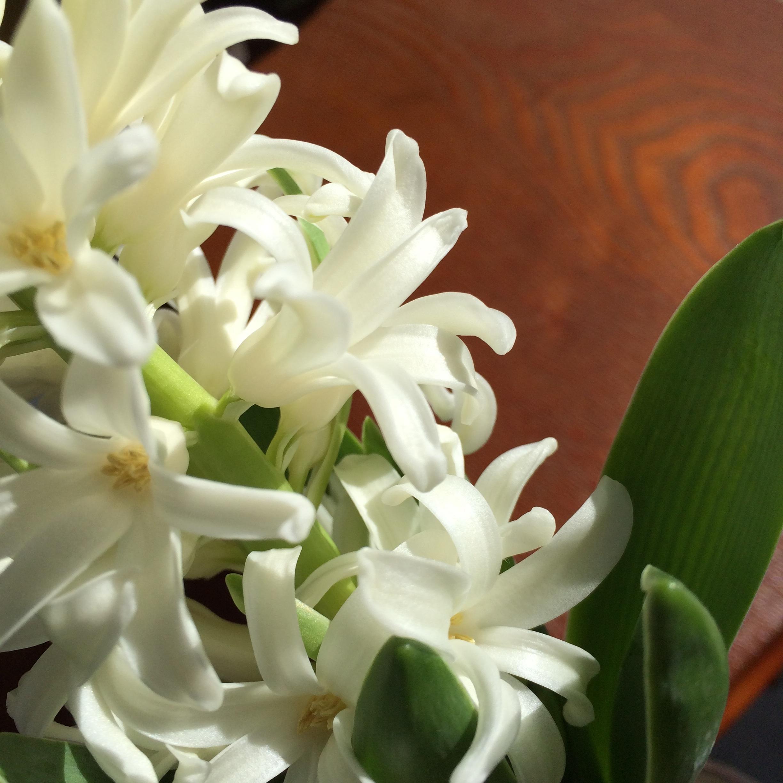Free Images Flower Petal Botany Flora Hyacinth Flowering