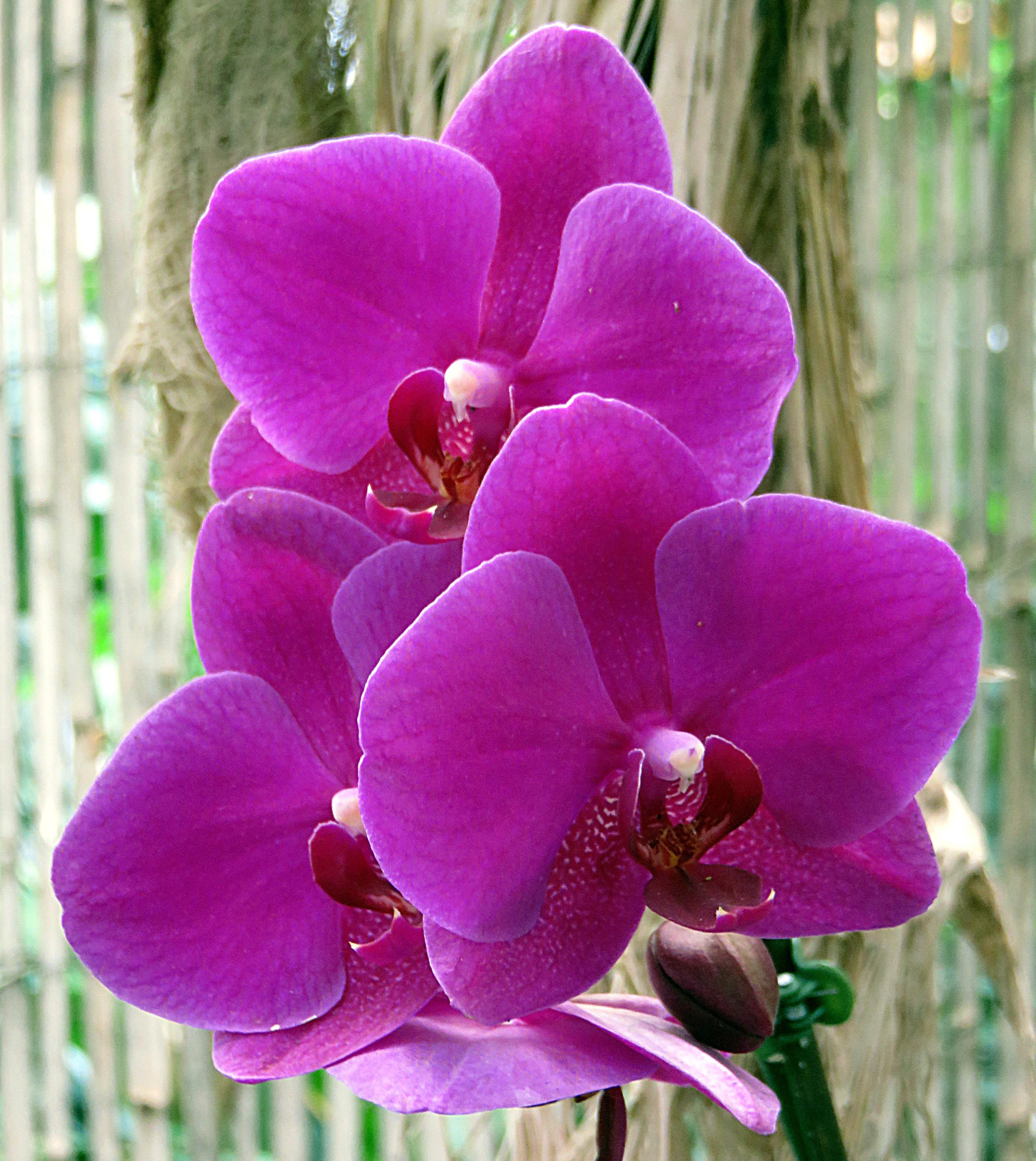 орхидеи фиолетовые фото пушин