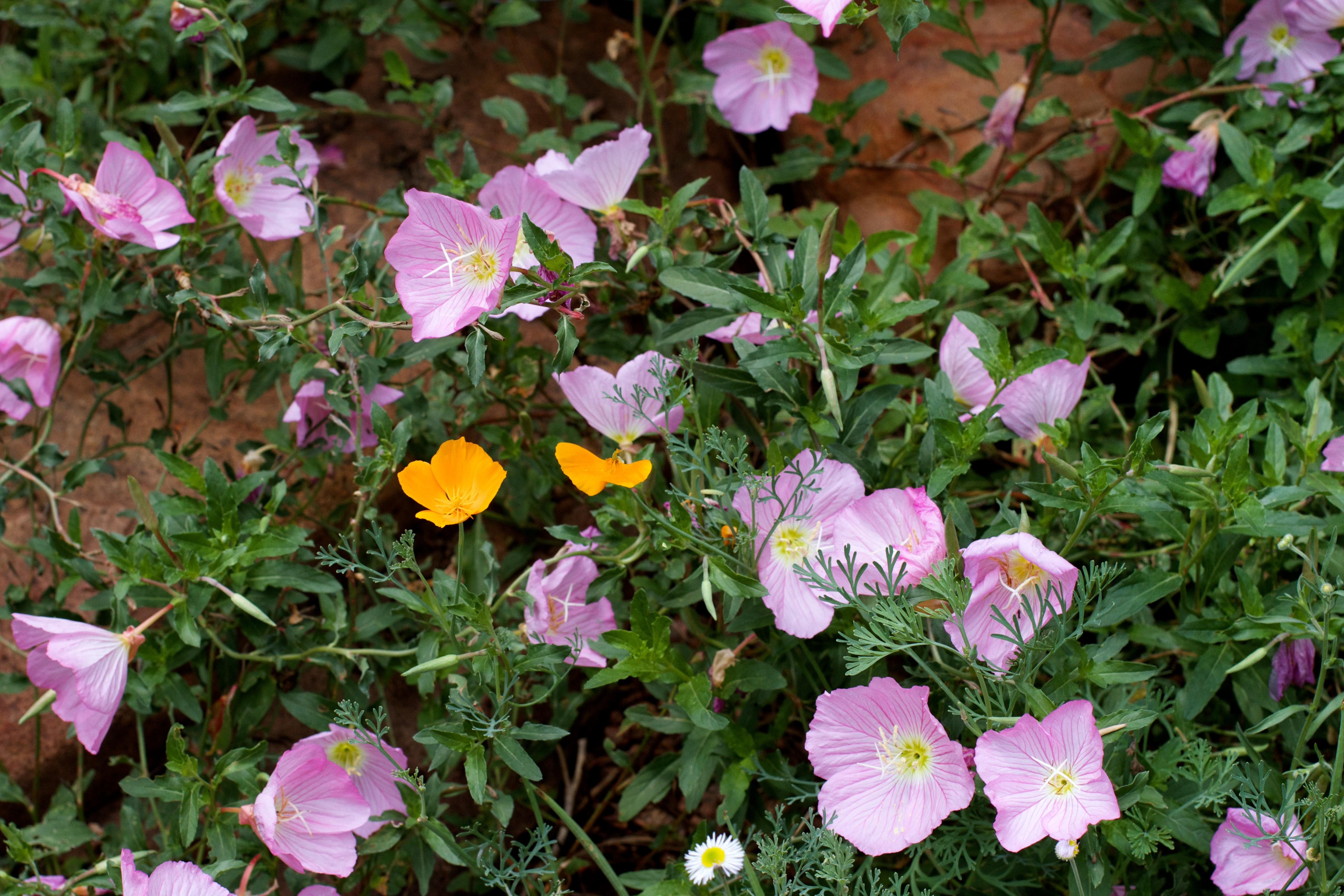 Images gratuites fleur p tale botanique flore fleur for Plante annuelle