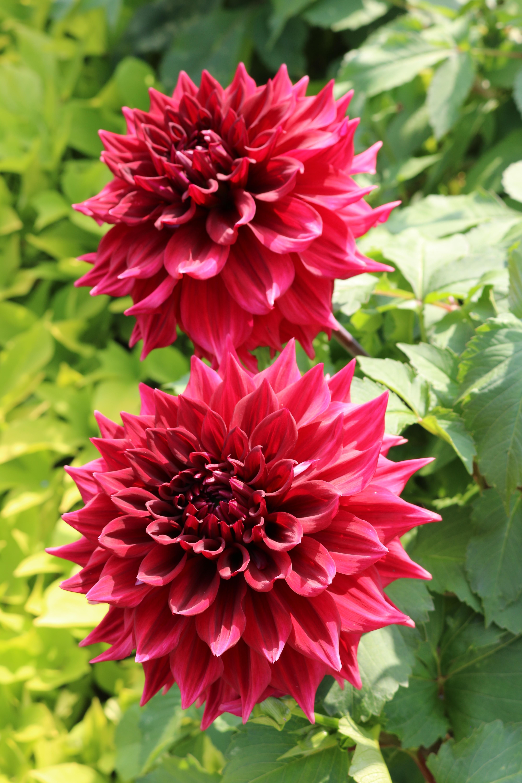 Free Images : flower, petal, botany, flowers, dahlia, chrysanthemum ...