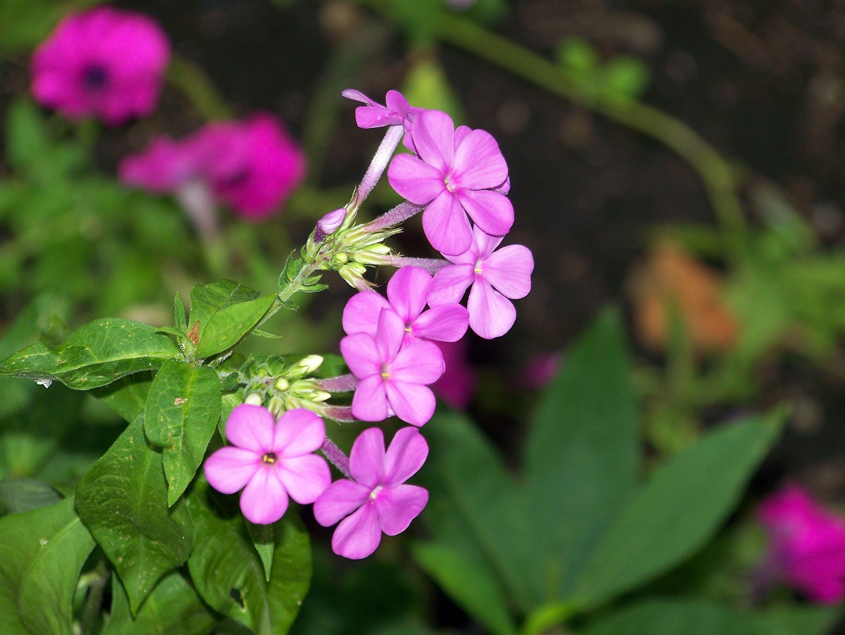 Images Gratuites Petale Botanique Jardin Rose Flore Fleur