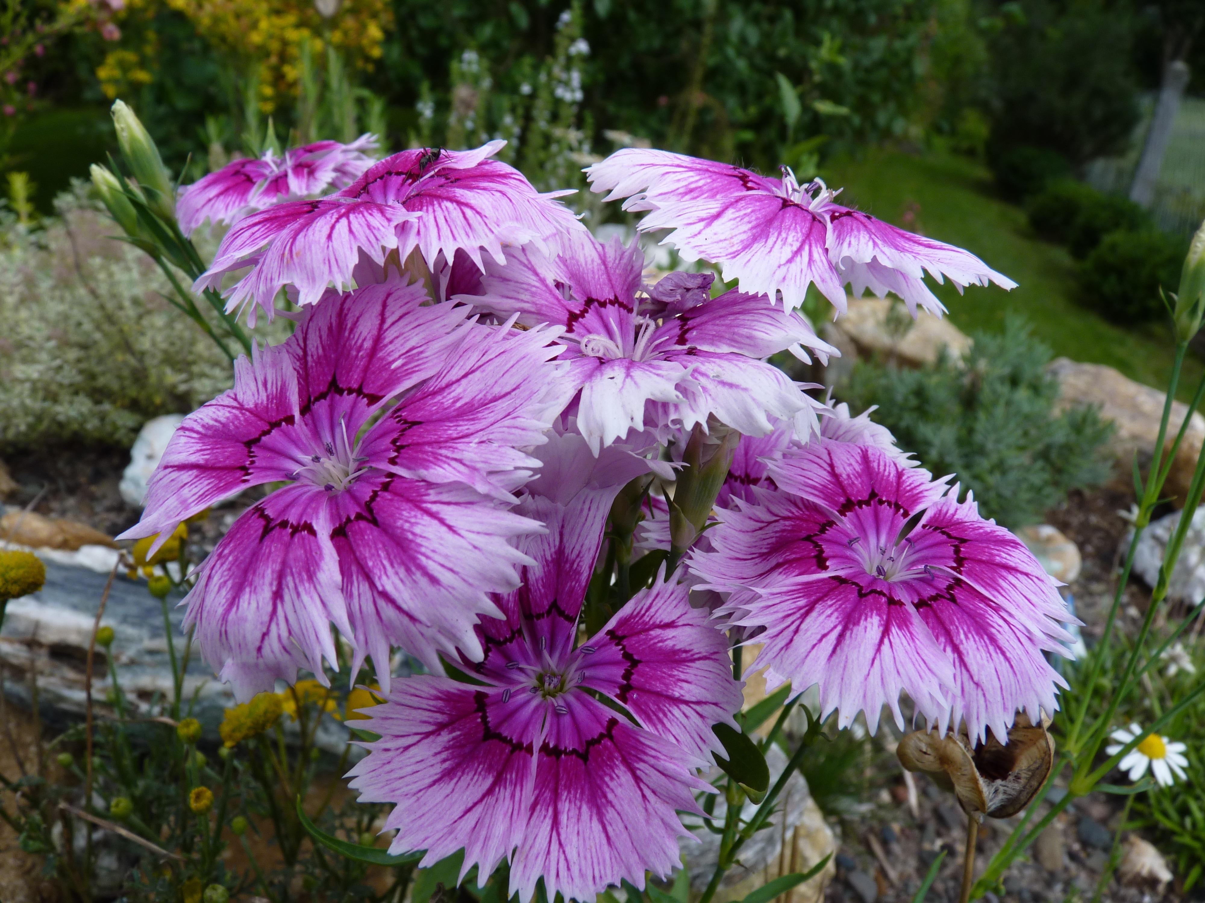 Free Images Flower Petal Botany Flora Flowers Carnation