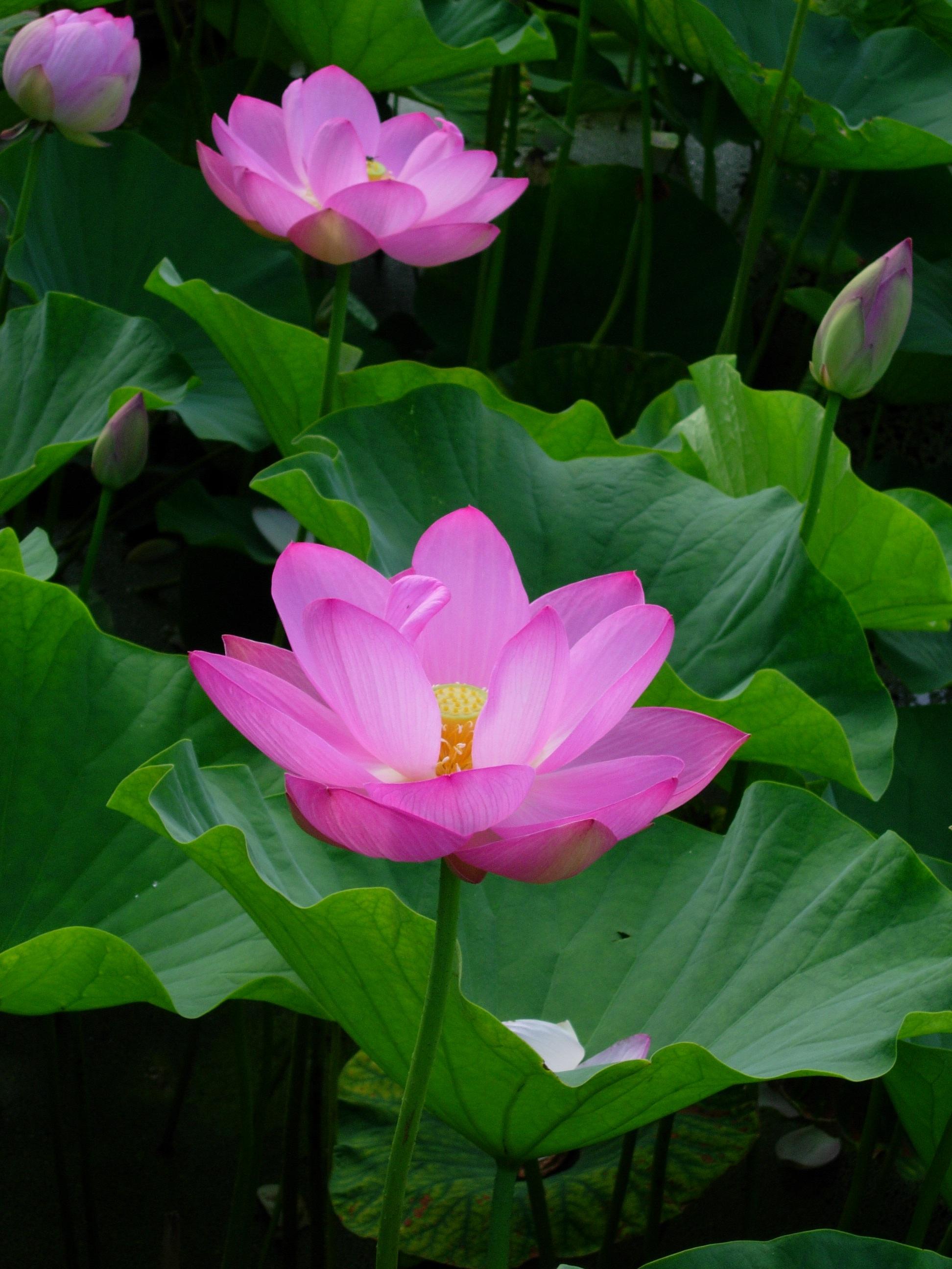 Free Images Flower Petal Botany Pink Sacred Lotus