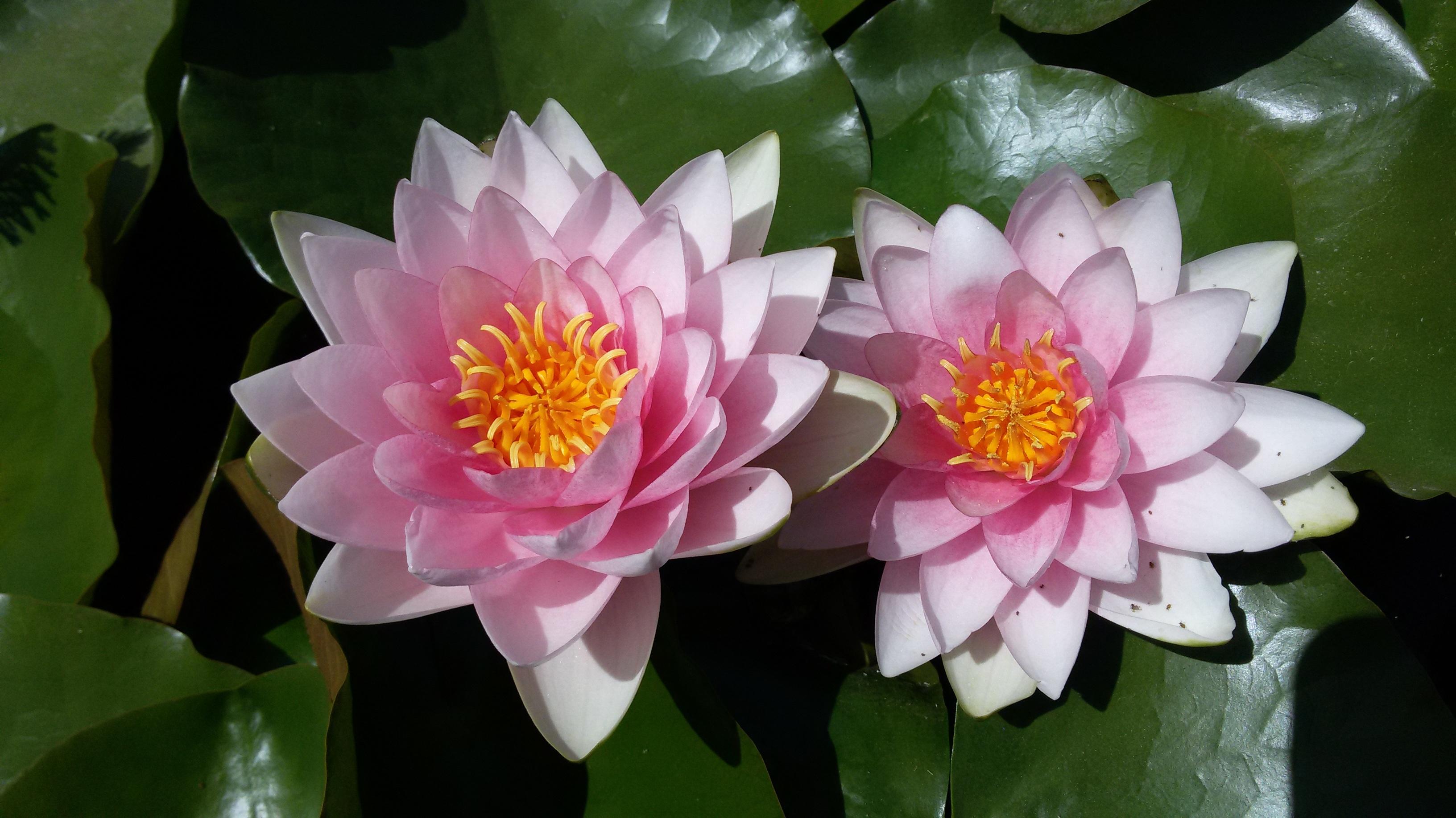 gambar menanam daun bunga botani seroja tanaman air