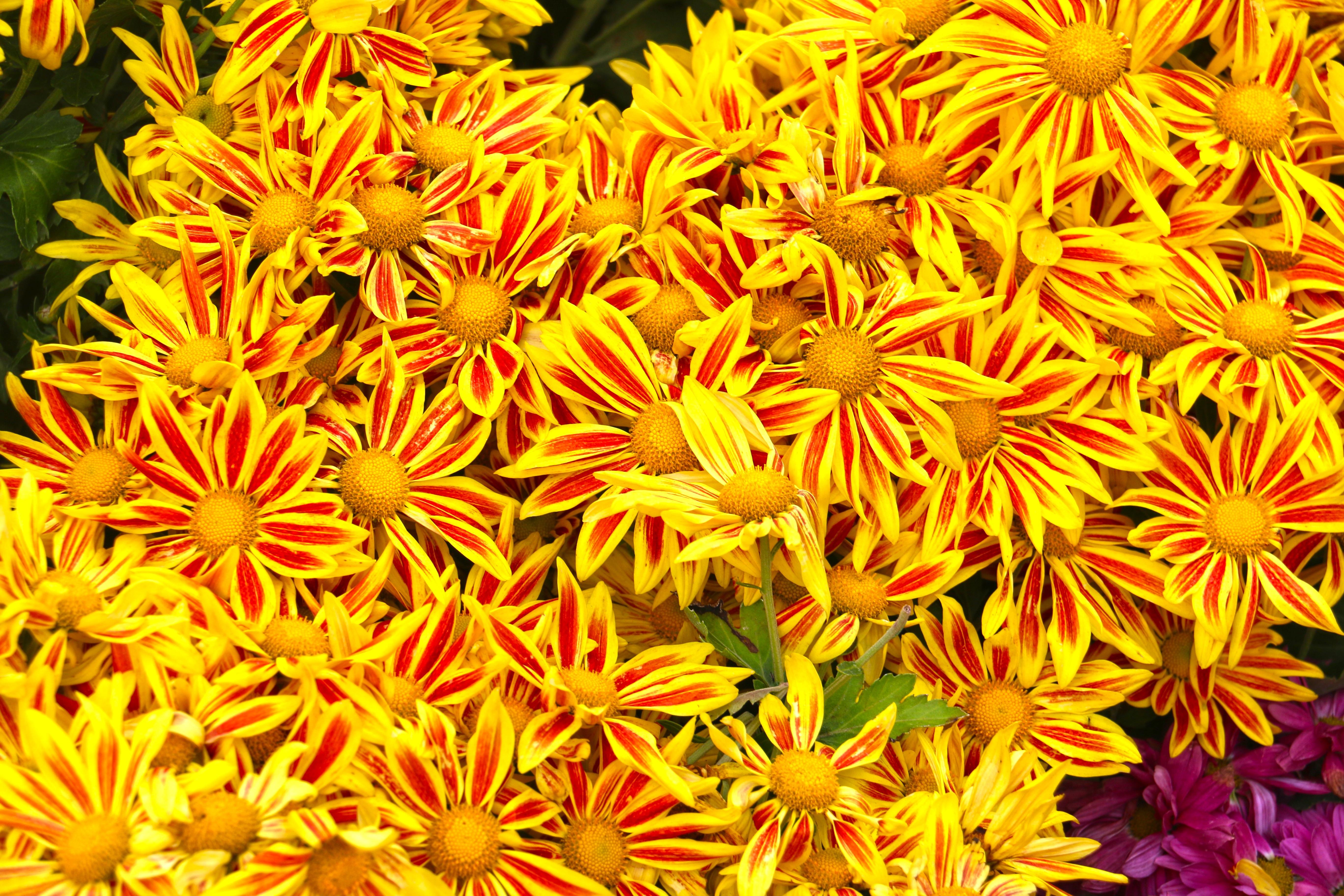 Fotos gratis : flor, pétalo, botánica, flora, girasol, Arrecife de ...