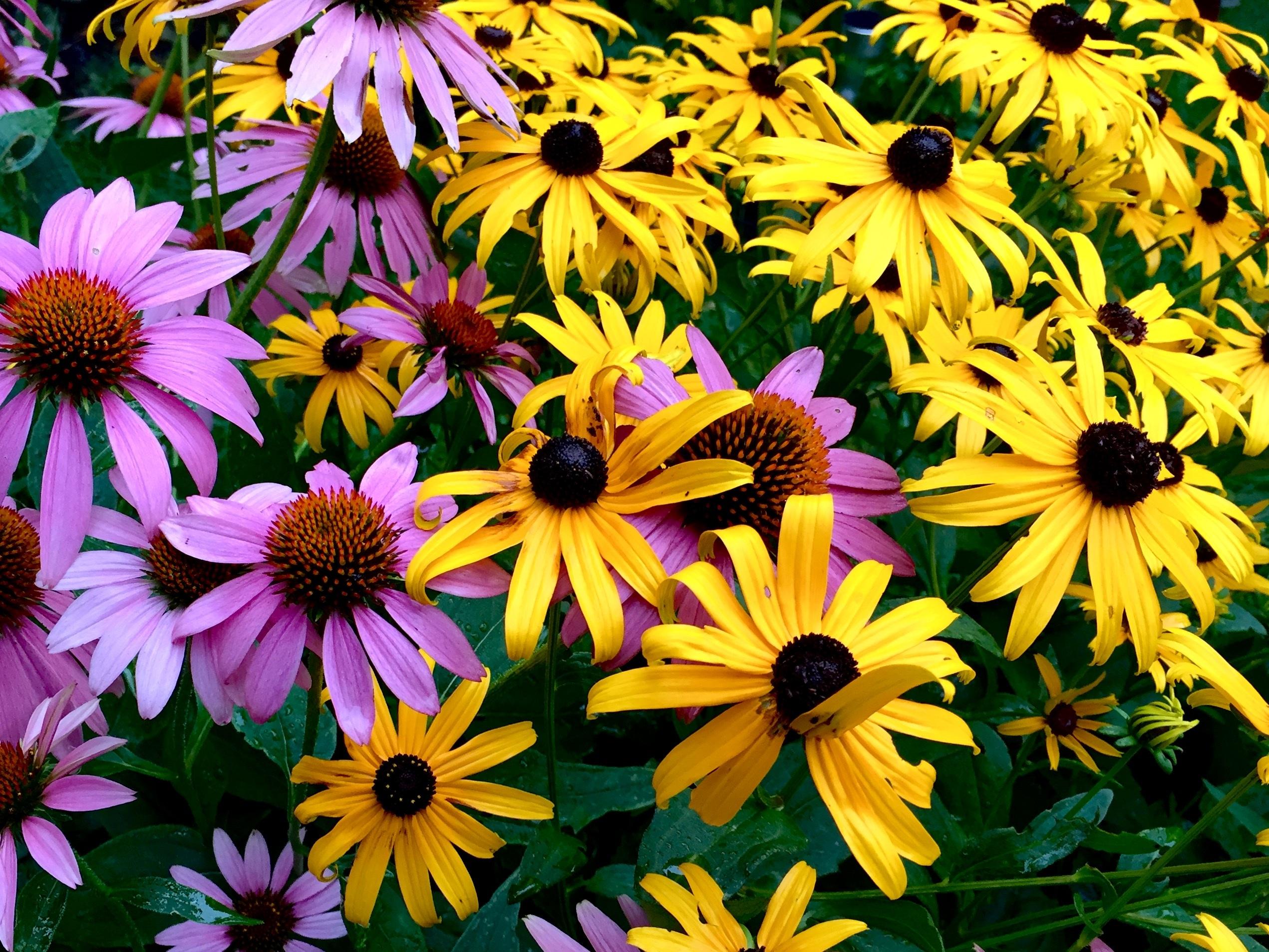 Image Result For Purple Garden Flowers Perennials