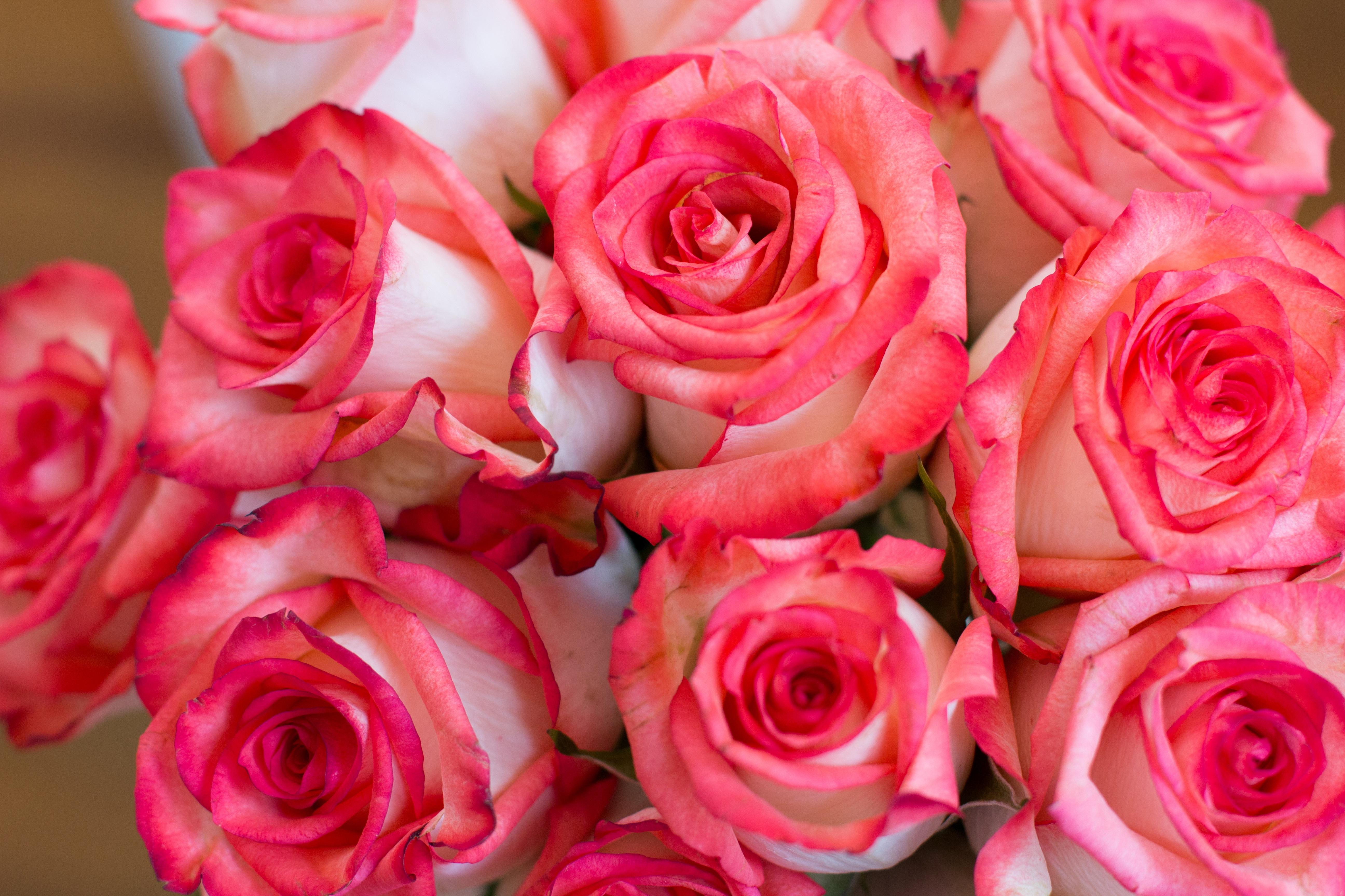 gratis afbeeldingen   fabriek  bloem  bloemblad  roos  rood  rozen  bloemisterij  floribunda