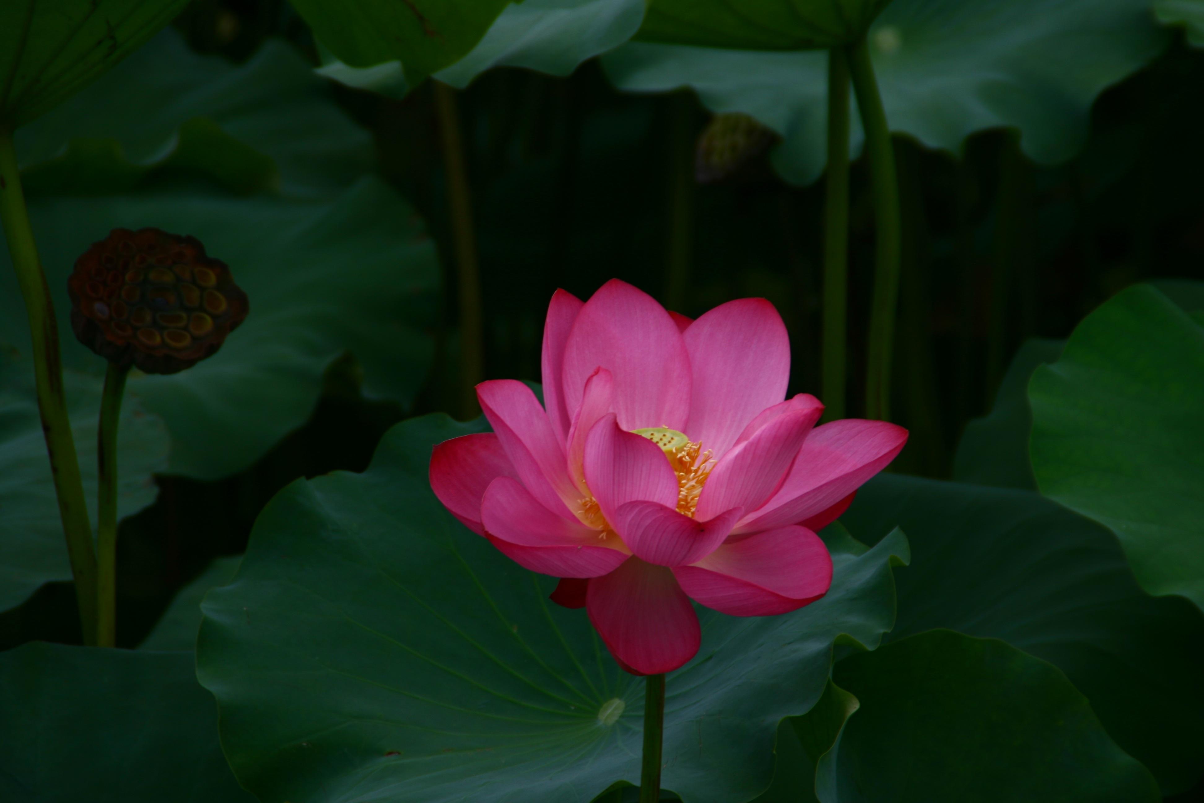 Fotos Gratis Flor Pétalo Budismo Botánica Loto Sagrado Planta
