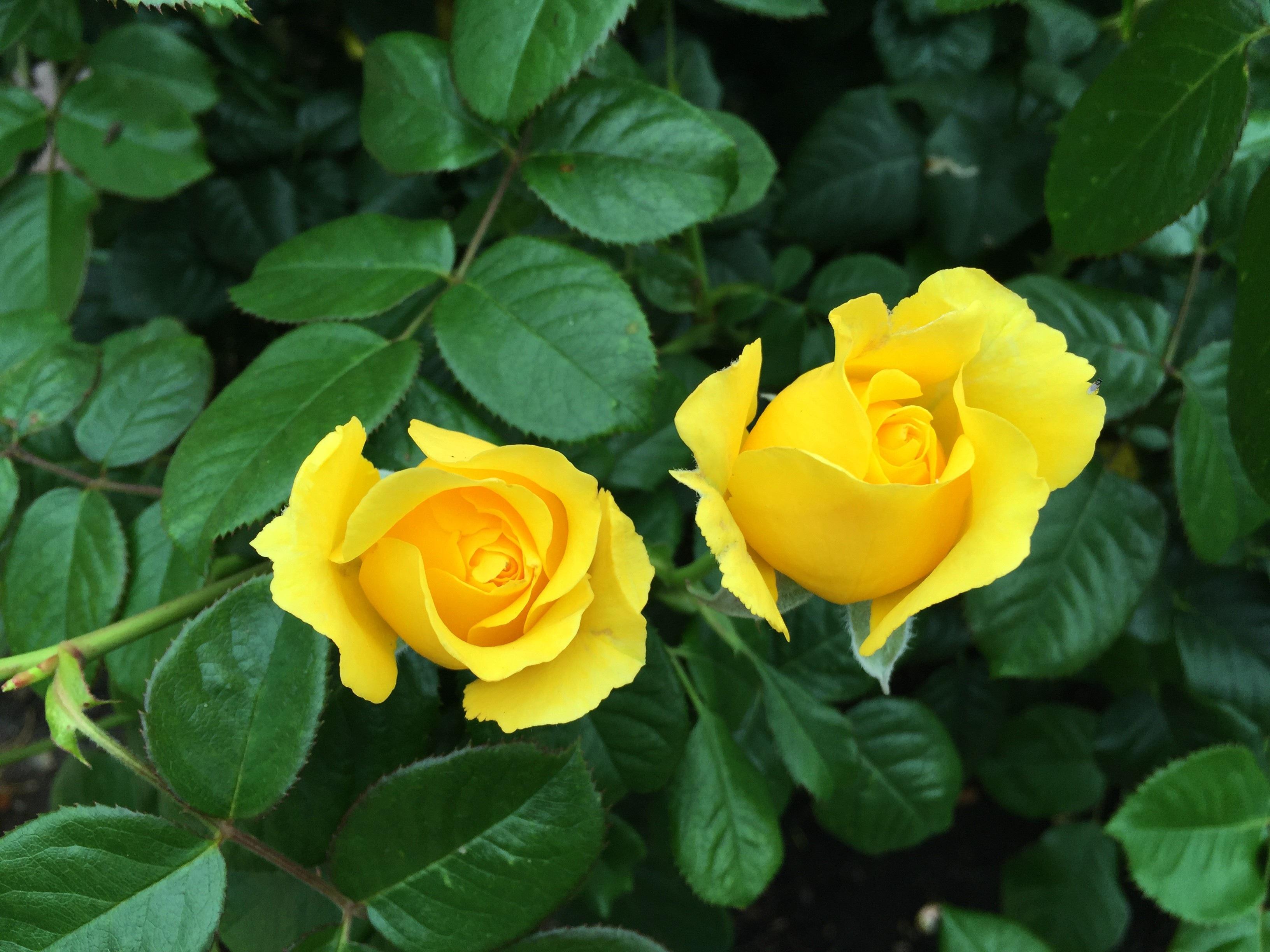 Free Images : Flower, Petal, Botany, Blooming, Flora, Rose