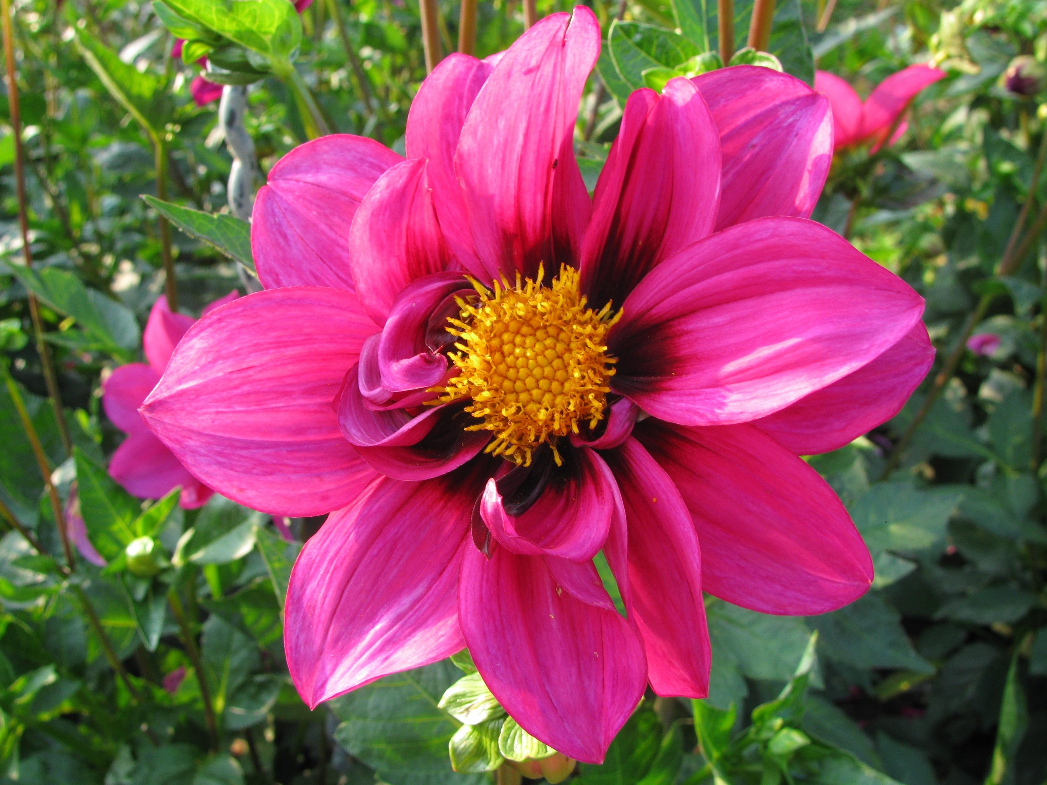 Fotograf Cicek Tacyapragi Renk Botanik Pembe Bitki Ortusu