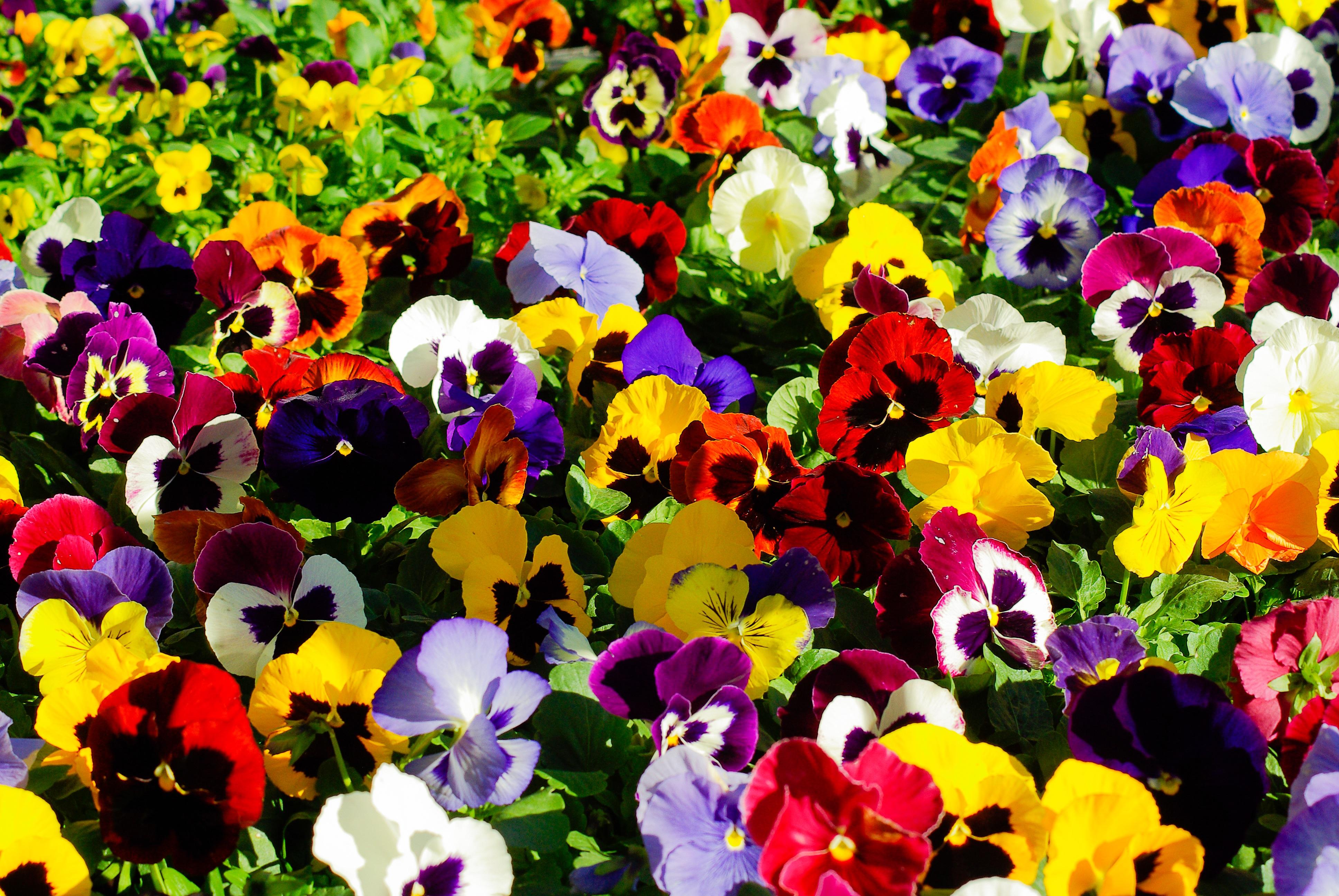 Images gratuites fleur p tale couleur jaune flore fleur sauvage parterre pens es - Pensee fleur vivace ou annuelle ...