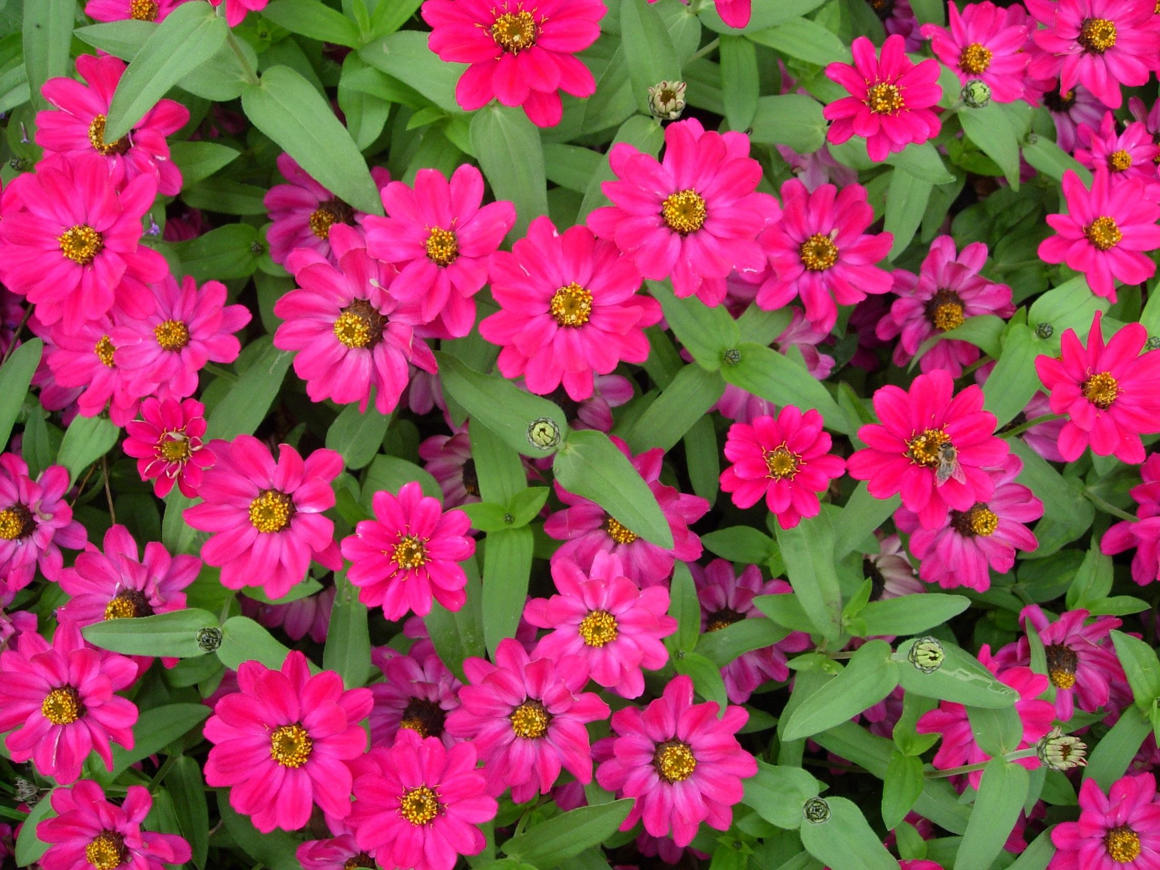 Free Images Petal Colorful Garden Flora Flower Bed Magenta