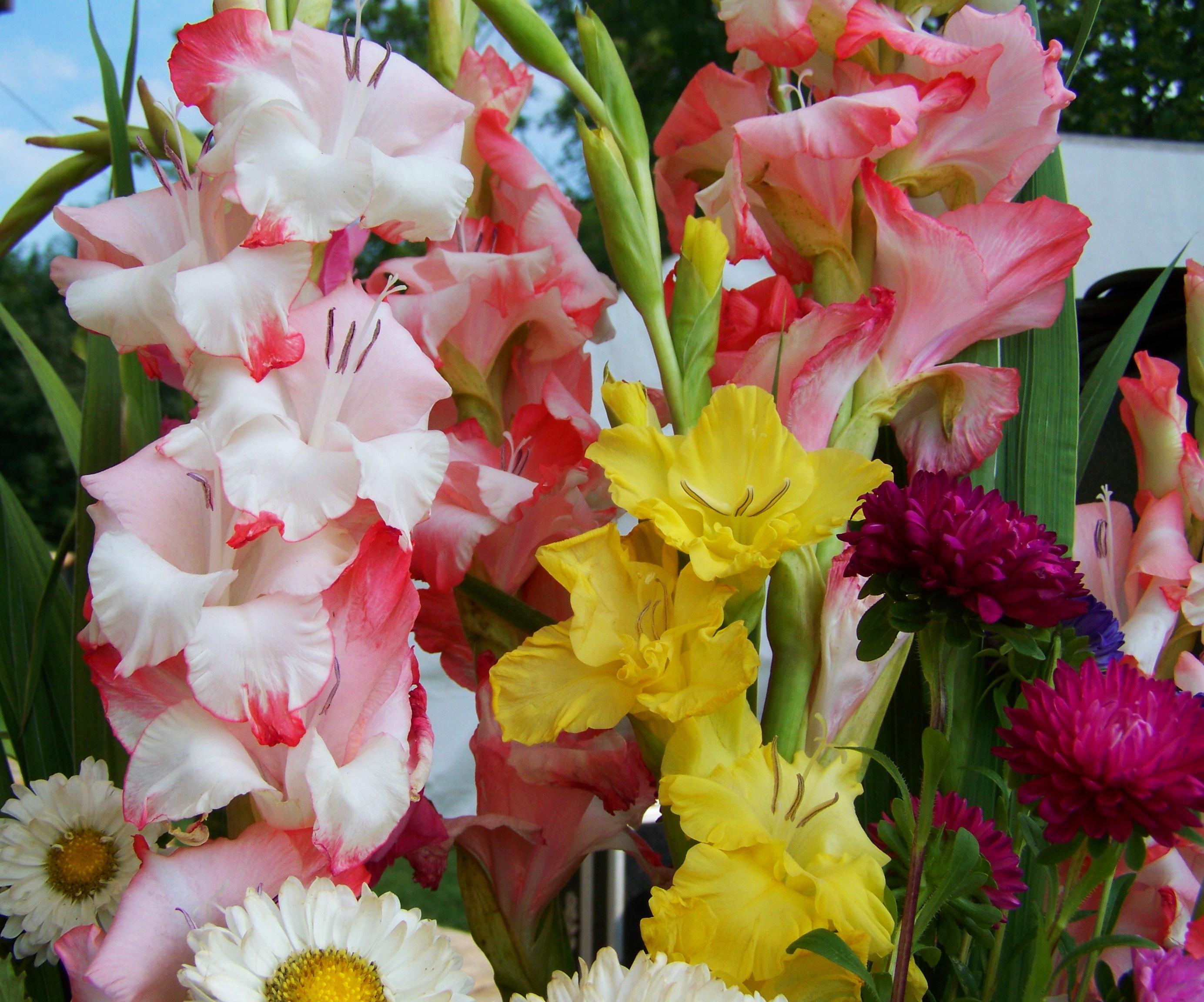 мастериц при открытки цветы гладиолусы петербургский