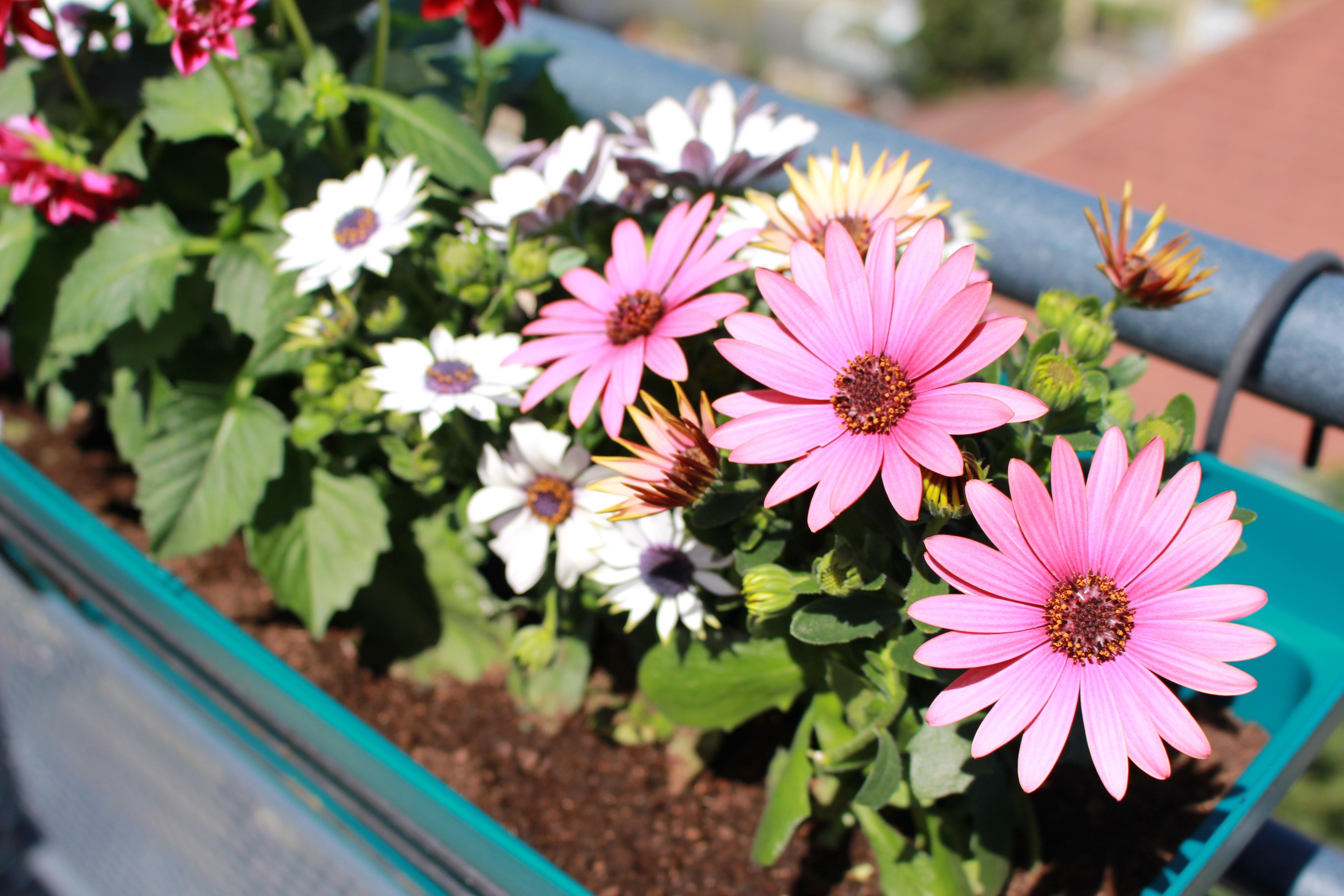 herbstblumen balkon beliebte herbstblumen f r balkon 8 balkonbepflanzung ideen herbstblumen f. Black Bedroom Furniture Sets. Home Design Ideas