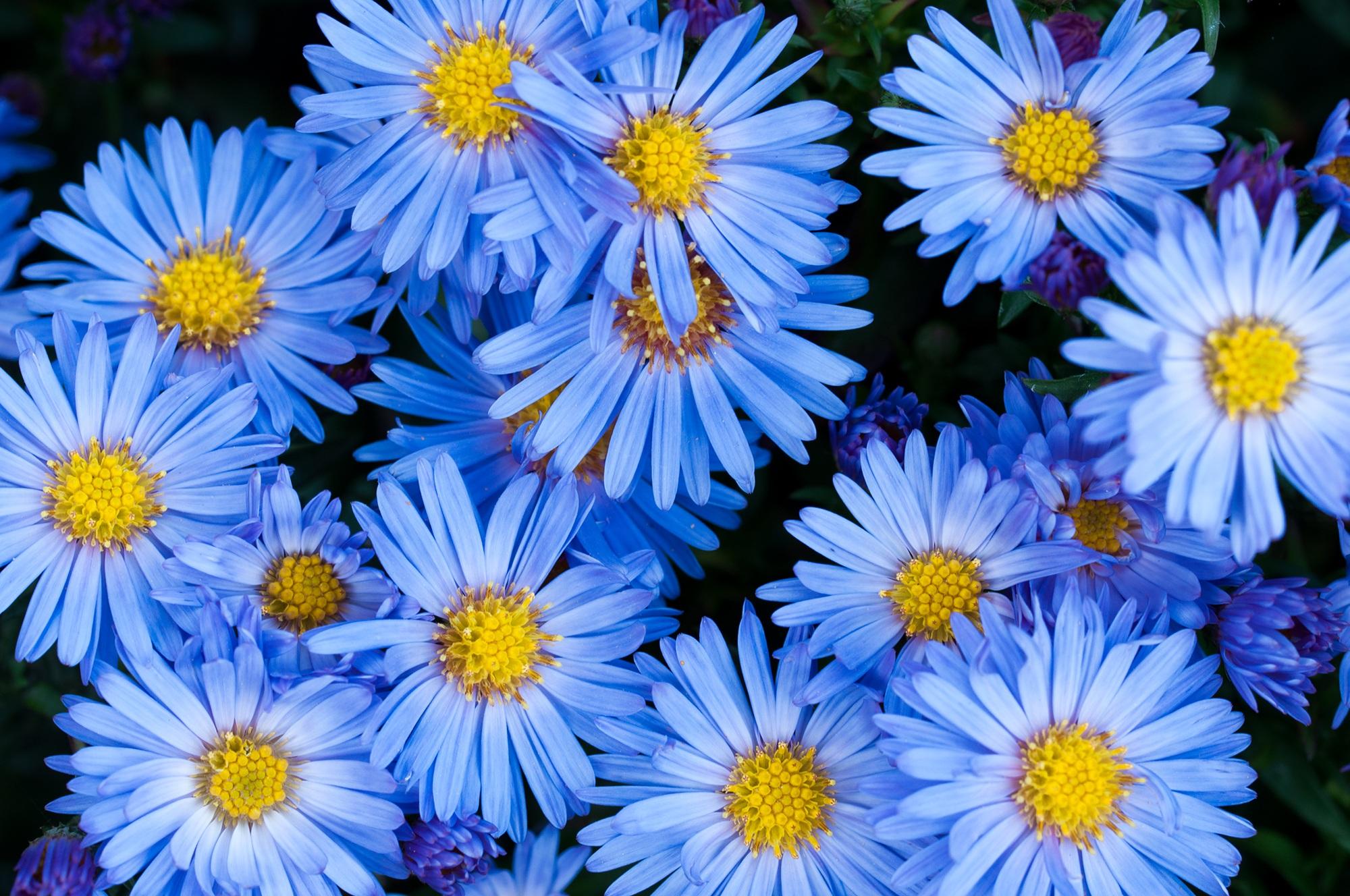 Free Images Petal Flora Blue Flower Aster Flower Garden