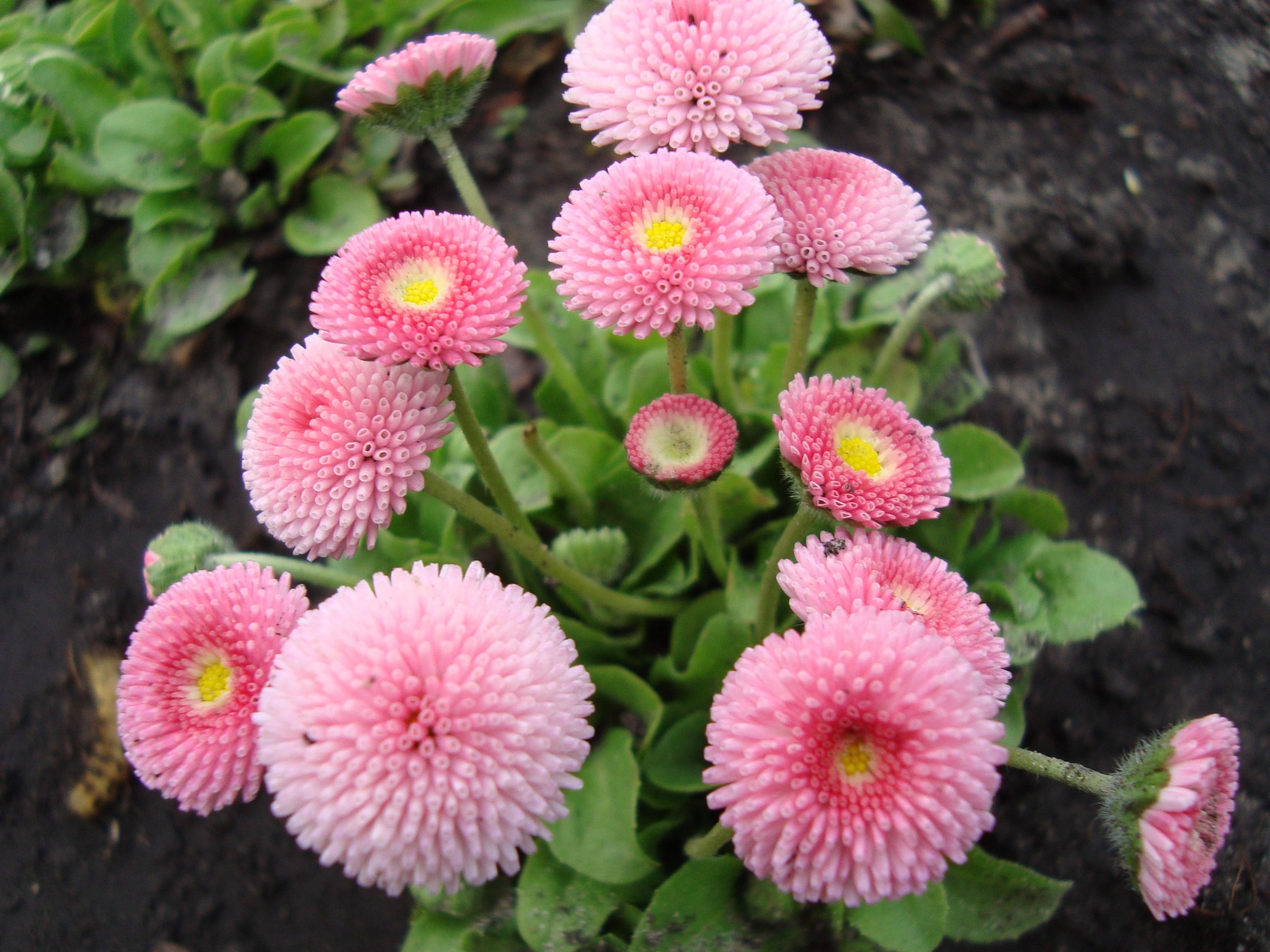 images gratuites : fleur, pétale, marguerite, botanique, flore
