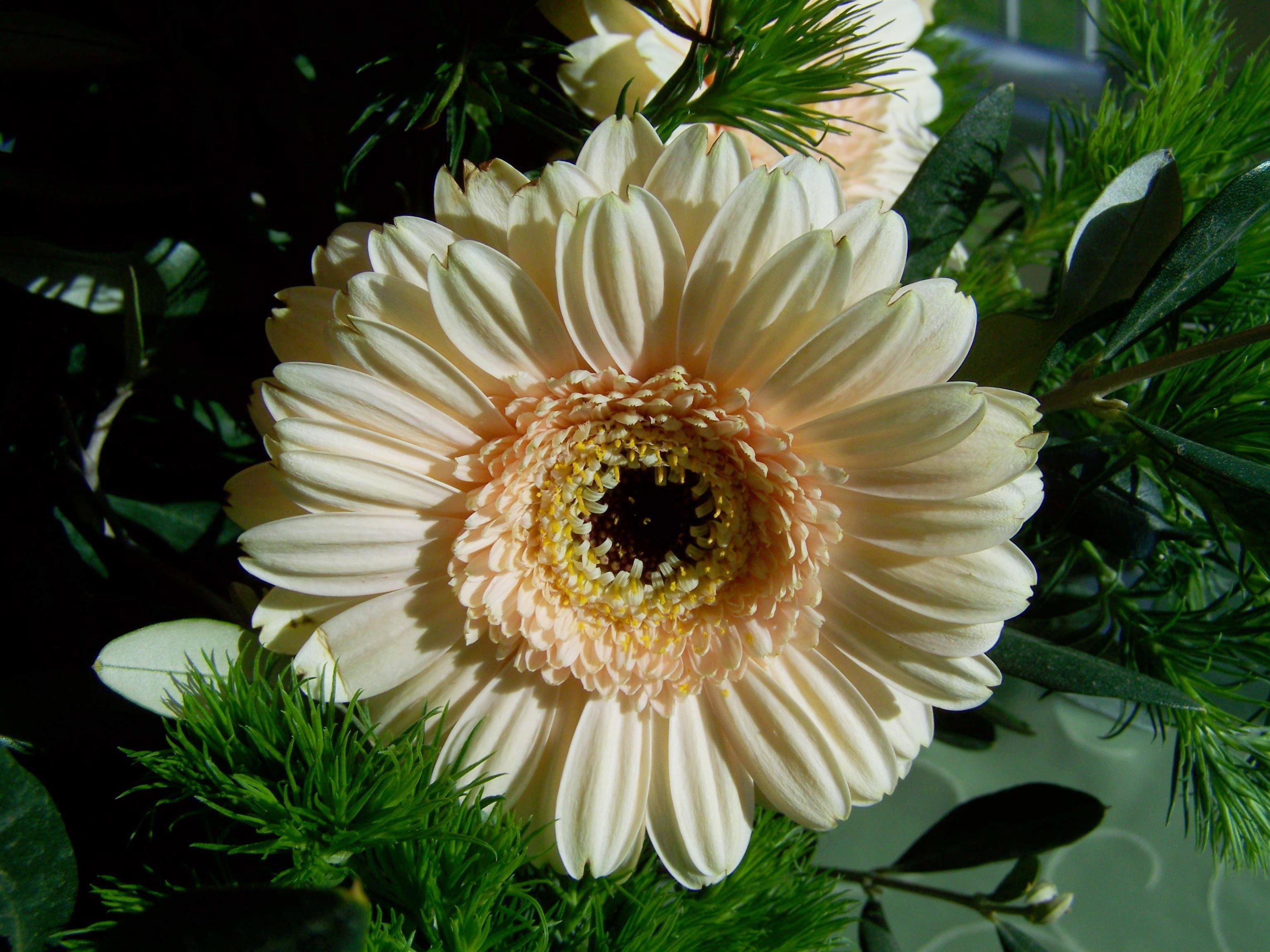 free images petal botany flora cut flower gerbera floristry