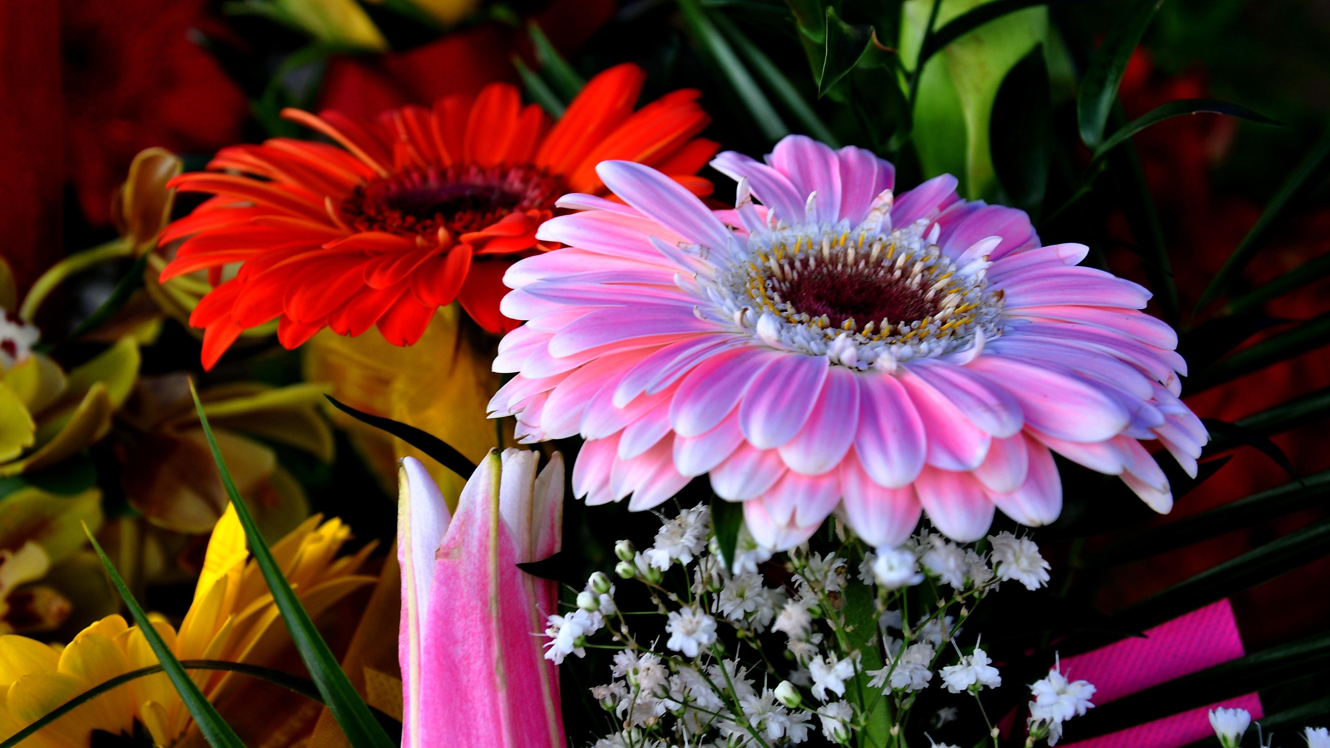 Free Images Petal Botany Pink Flora Cut Flower Gerbera