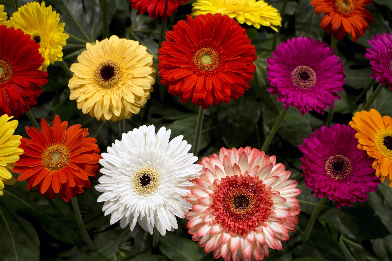 fotos gratis flor pétalo decoración gerbera floristería