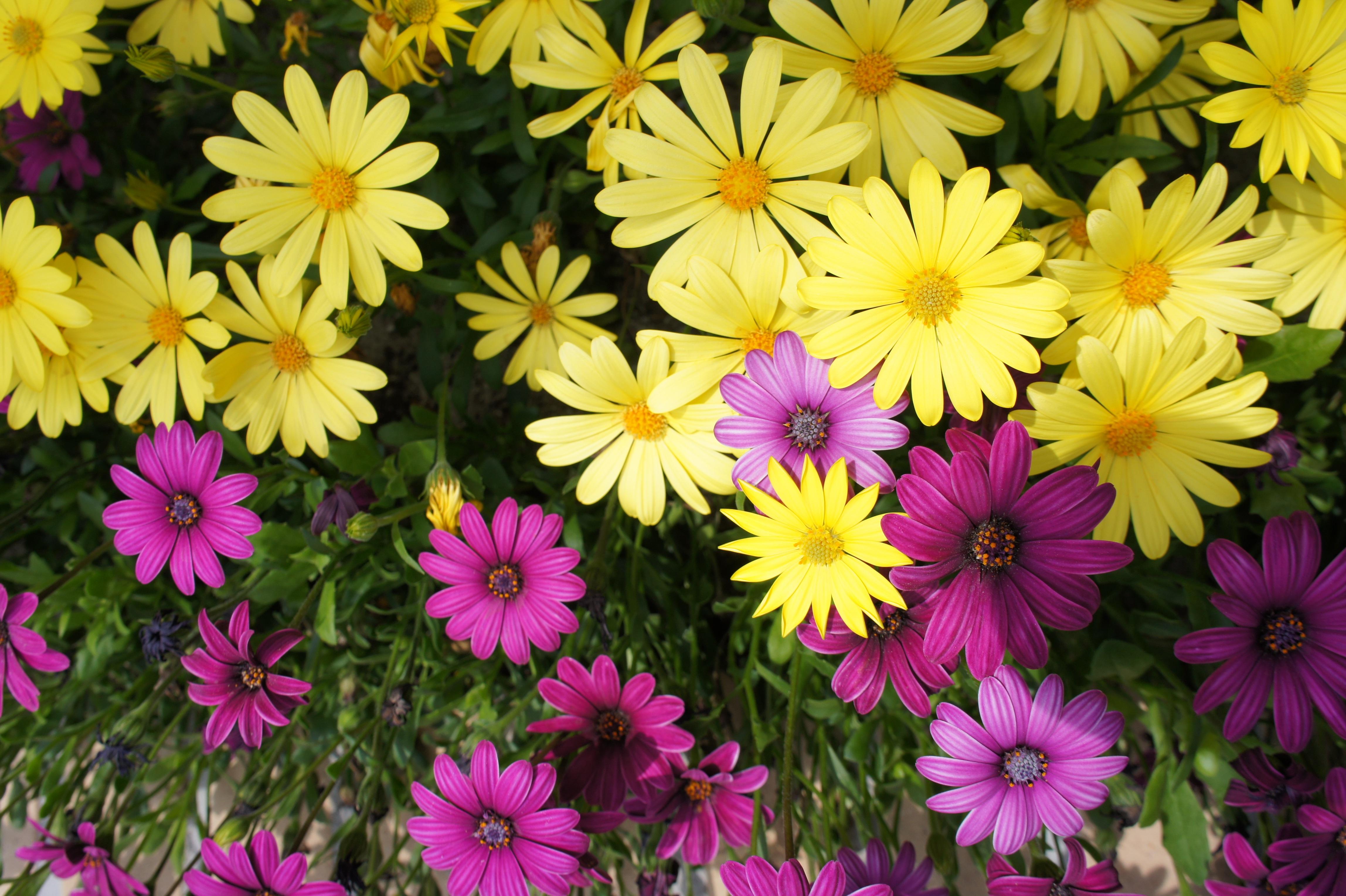 Free Images Petal Yellow Flora Purple Flowers Aster Flower
