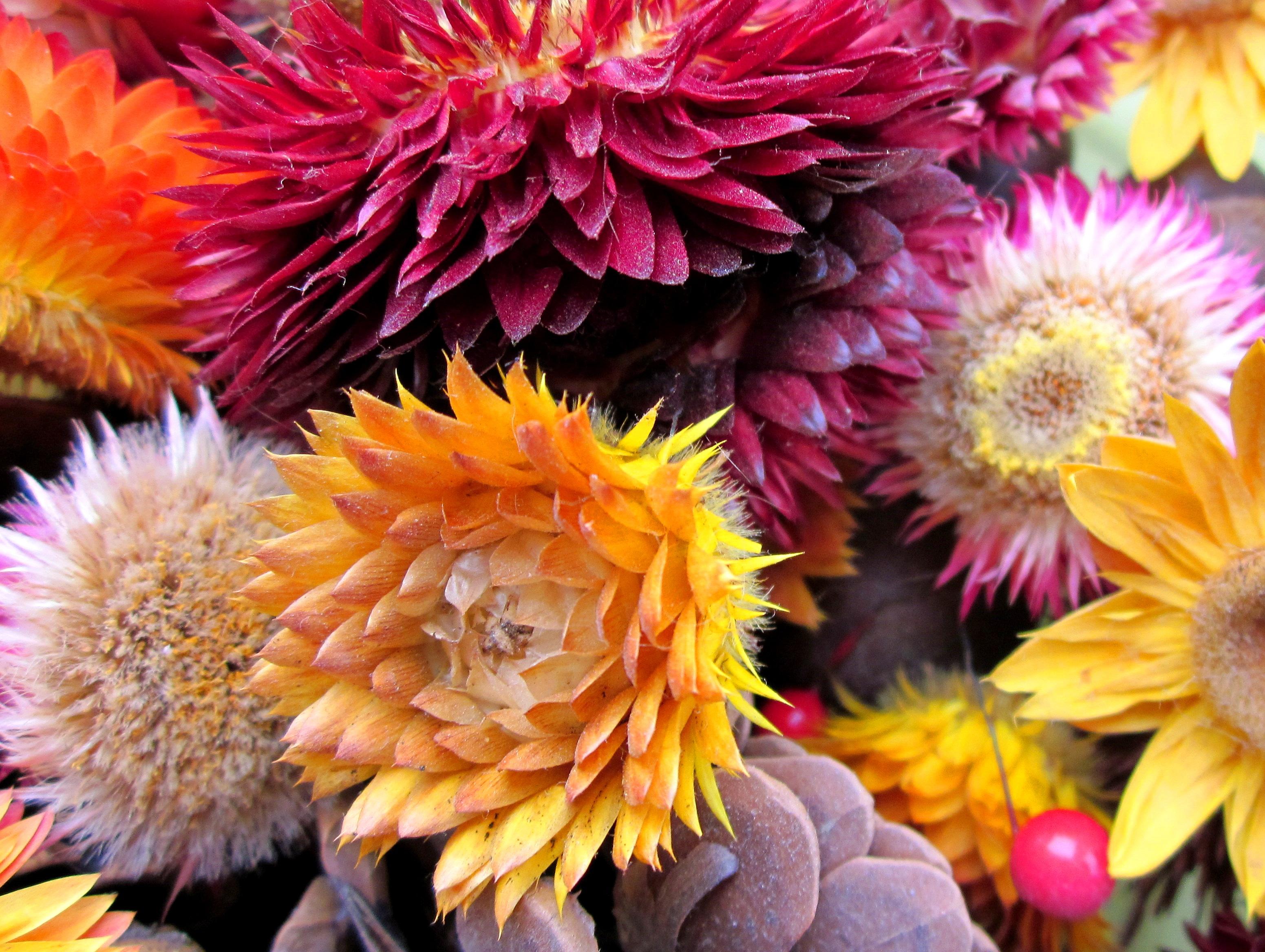 Free Images Petal Dry Flora Floristry Flowering Plant Daisy