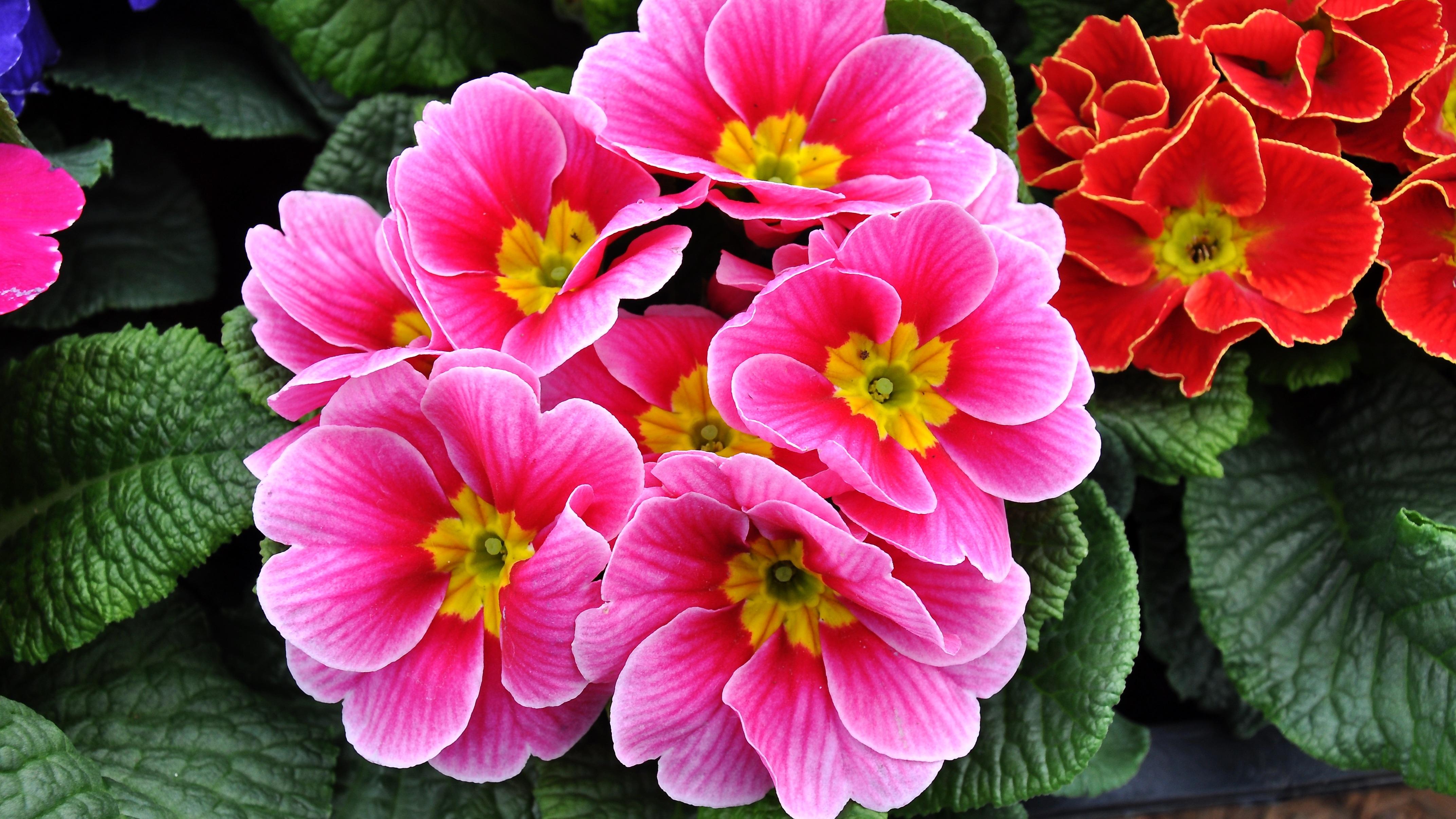 Gambar menanam daun bunga flora primrose bunga musim for Primule immagini