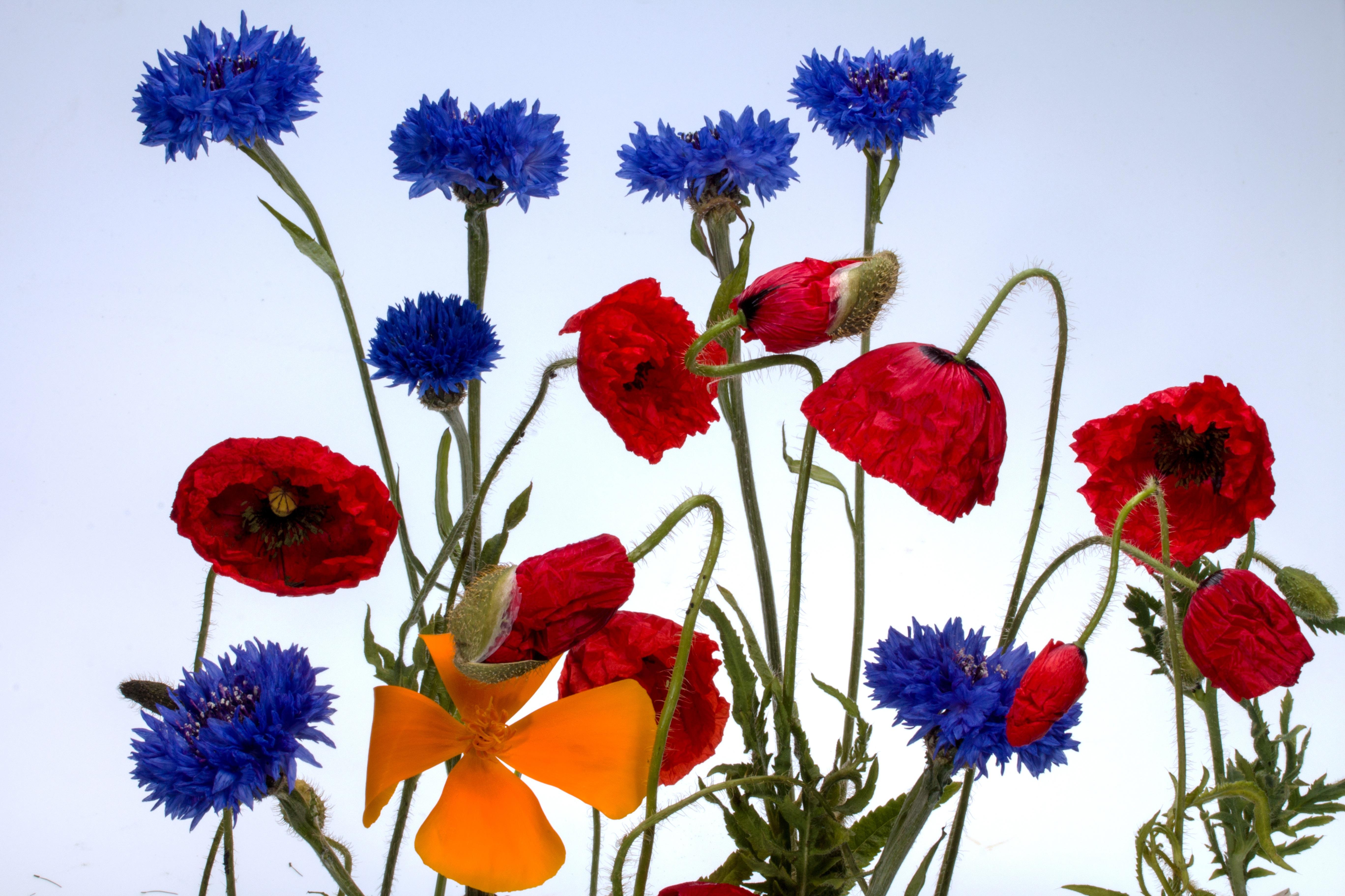 Free Images : petal, flora, wild flower, wildflower, klatschmohn ...