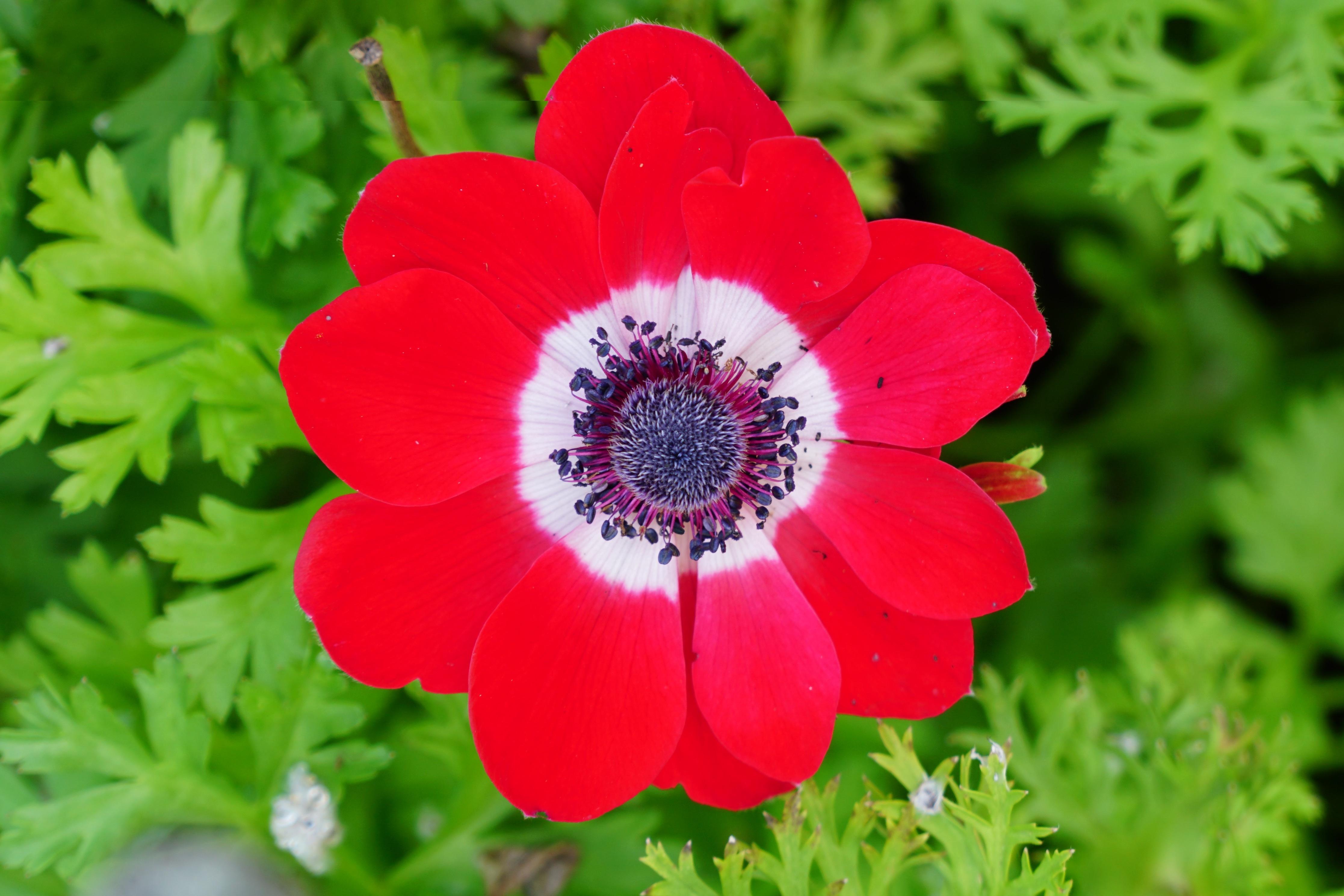 Фото цветы анемона сорта