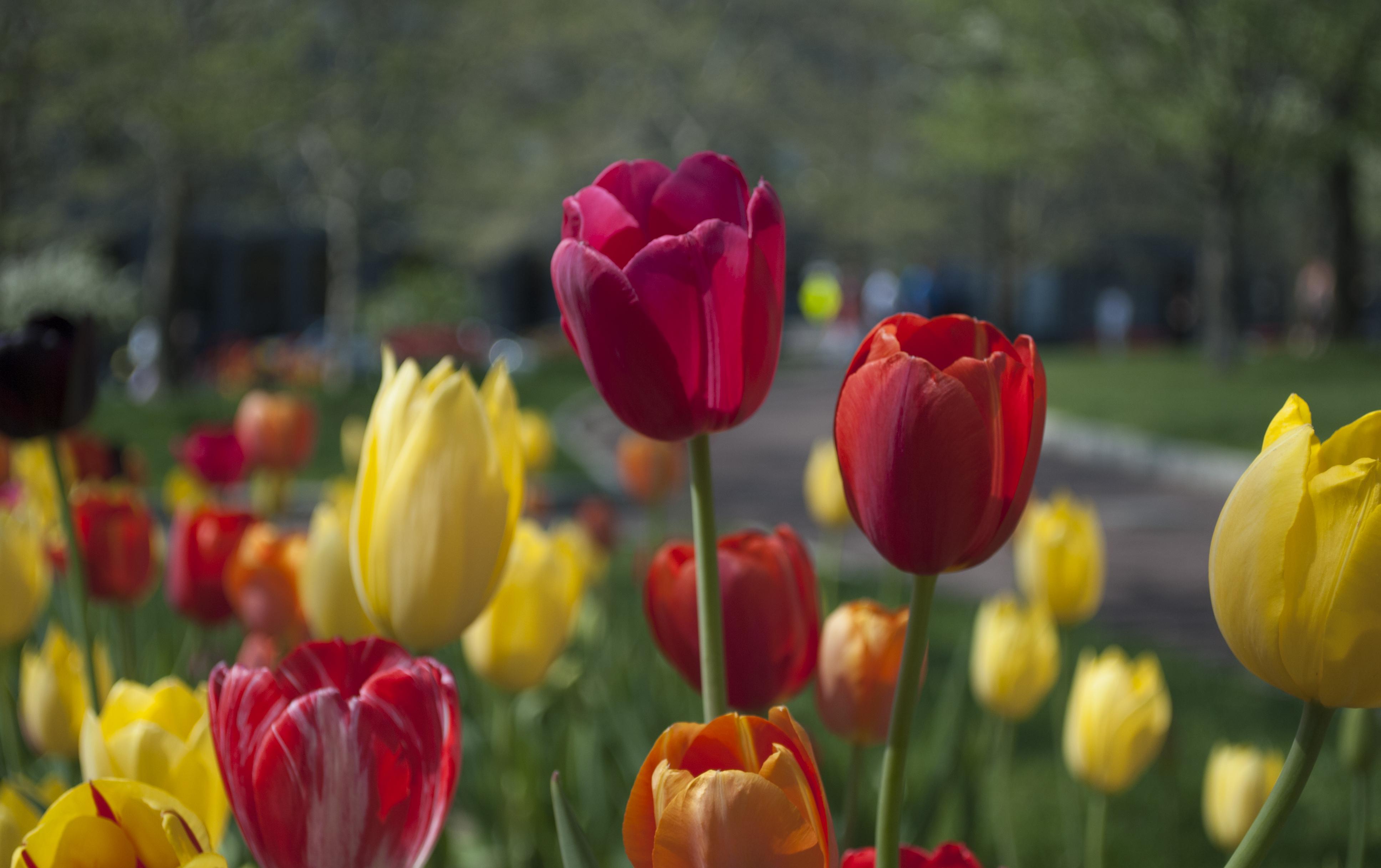 free images : petal, floral, tulip, flora, flowers, tulips, macro