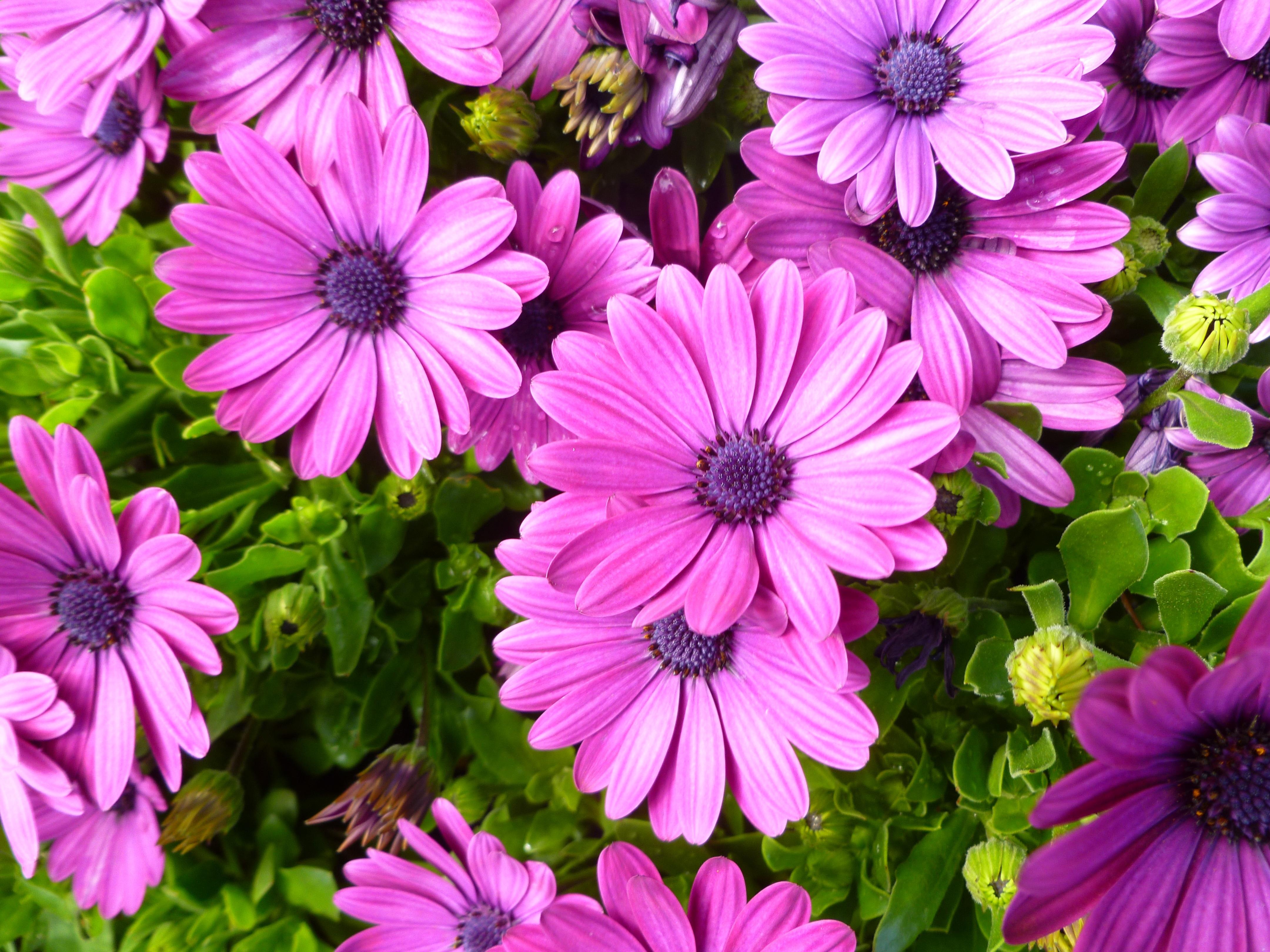 Садовые цветы однолетники
