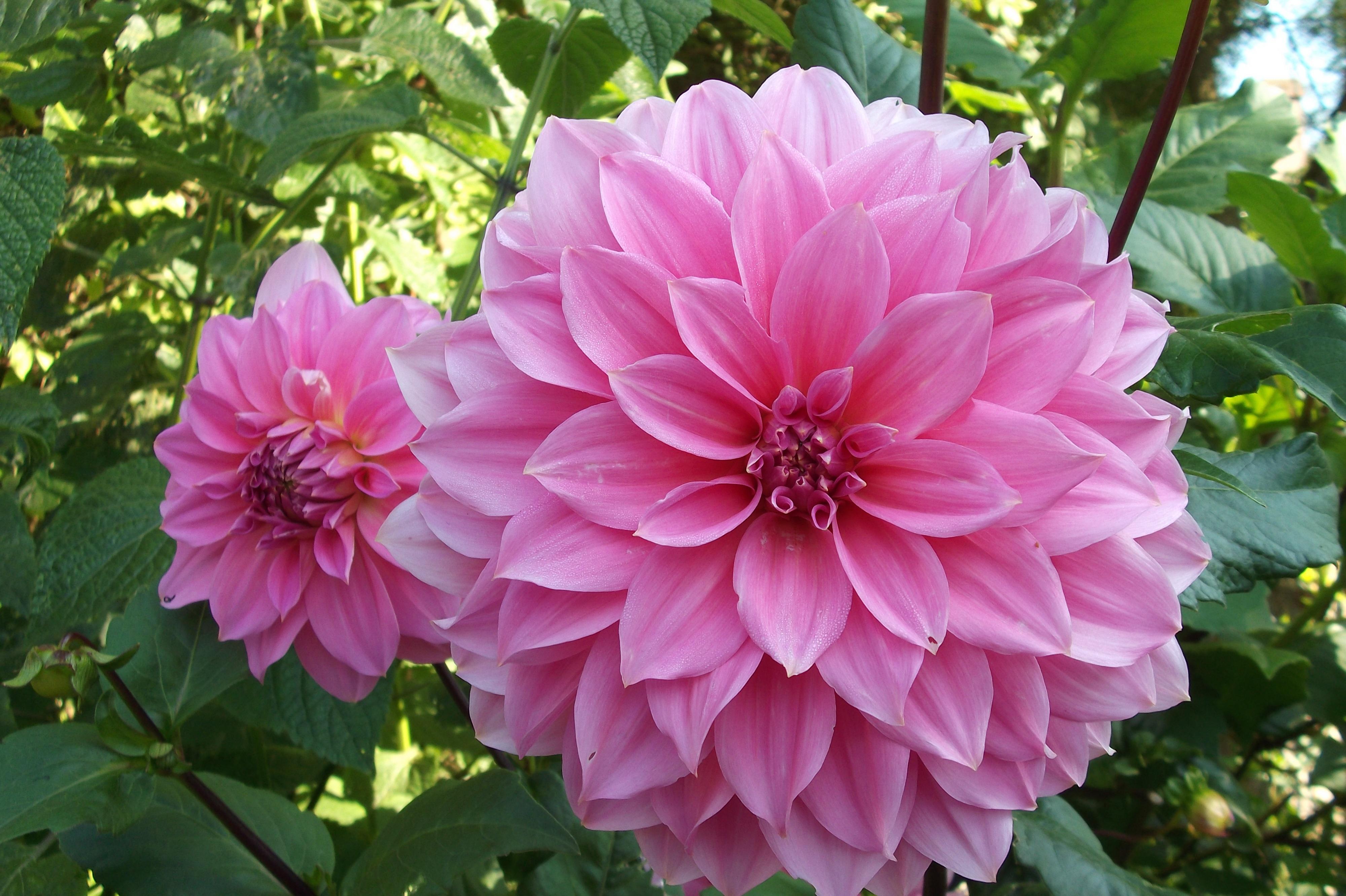 Free Images Flower Petal Garden Dahlia Peony Pink Flowers